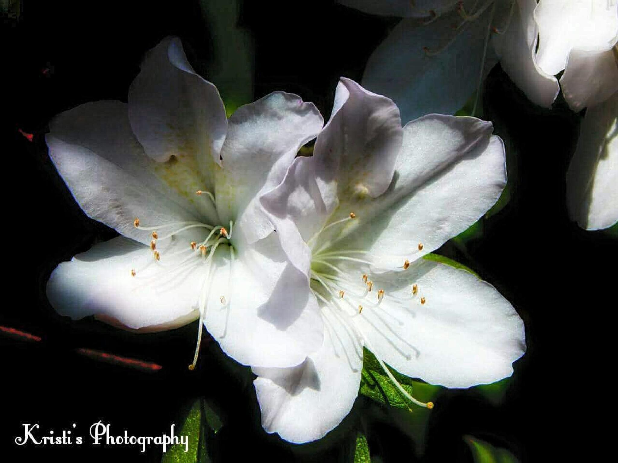 Azaleas by Kristi Hepner