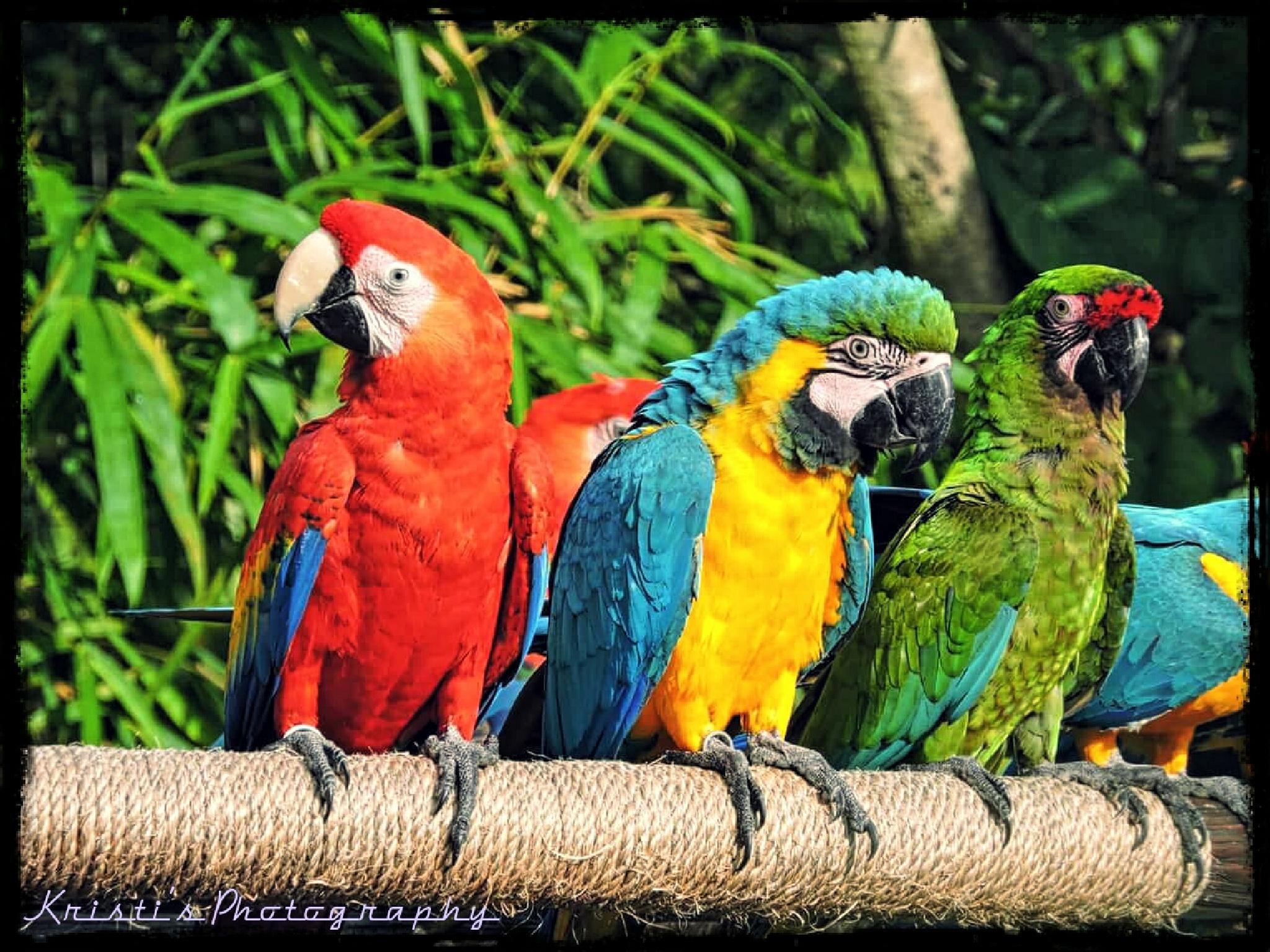 Parrots at Animal Kingdom by Kristi Hepner