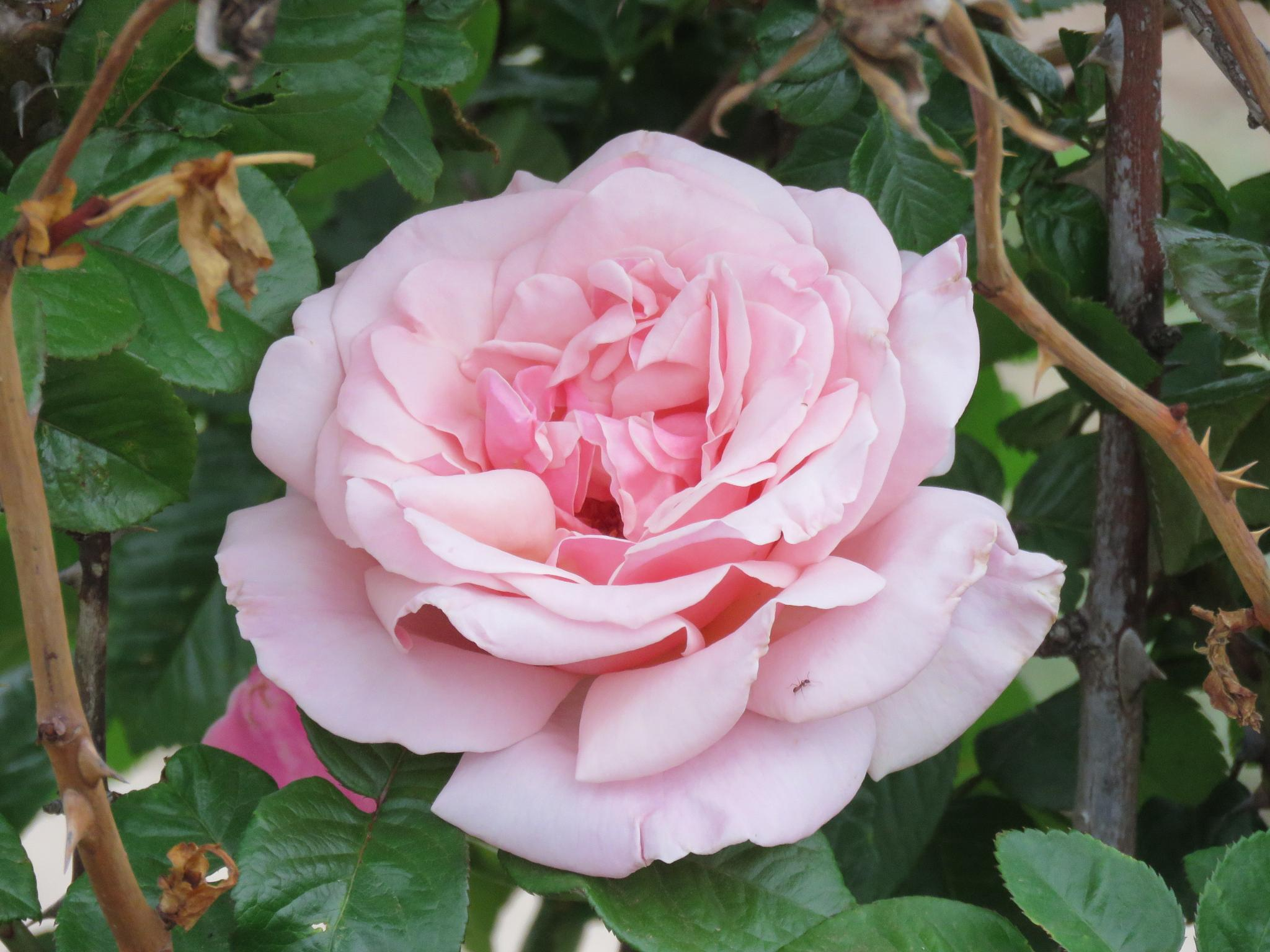 Lovely Rose by Dawn
