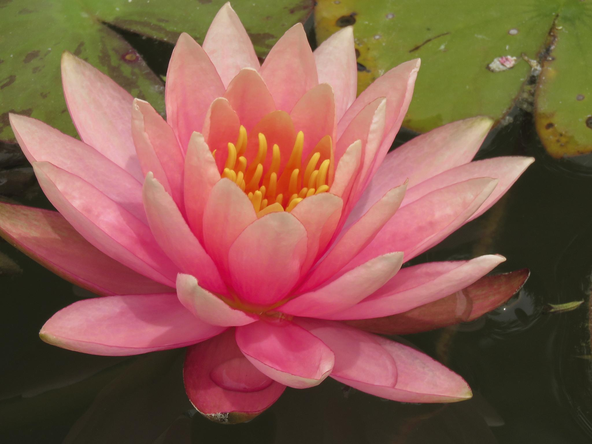 Water Lily by Dawn