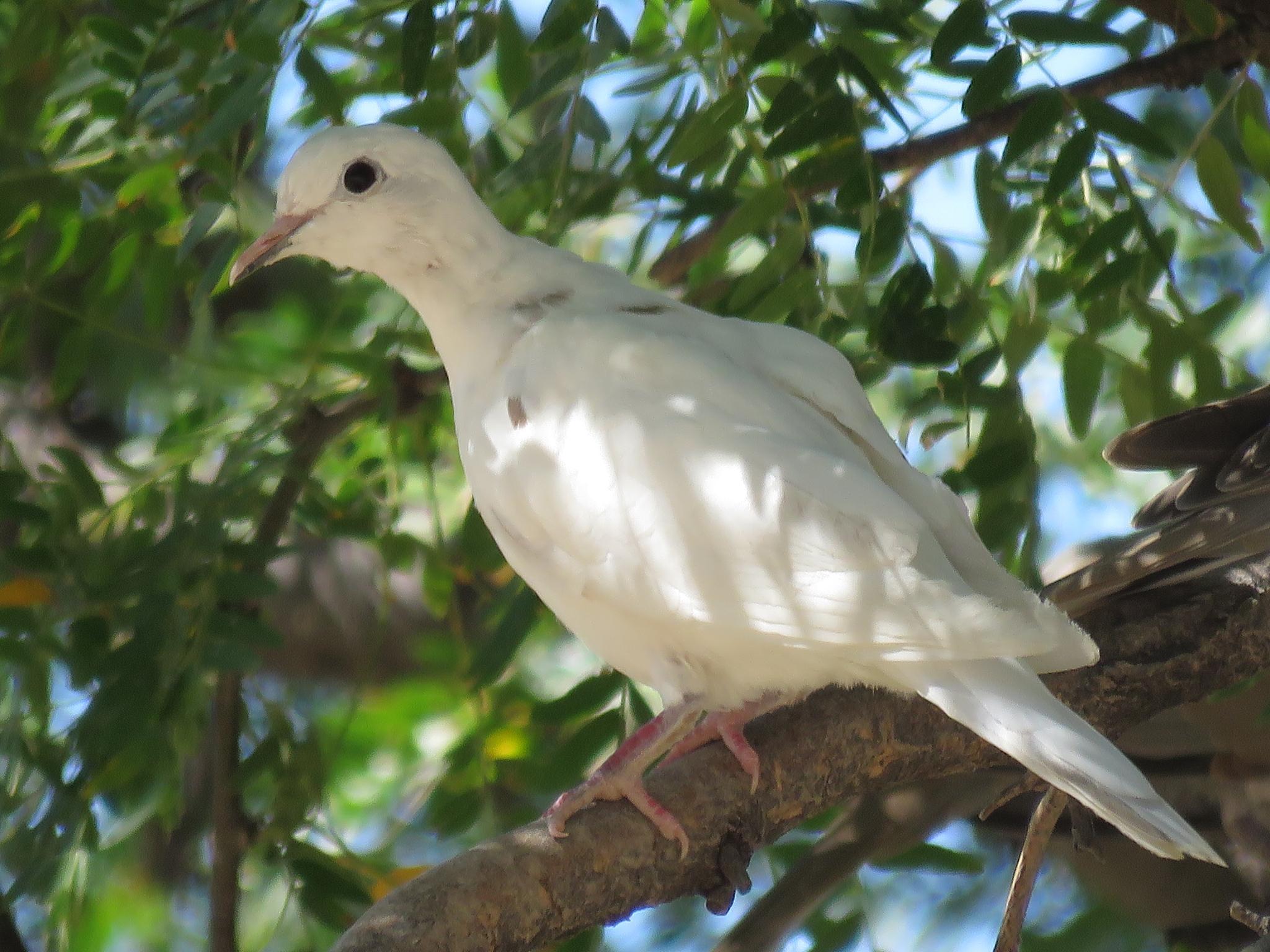 Albino Turtledove by Dawn