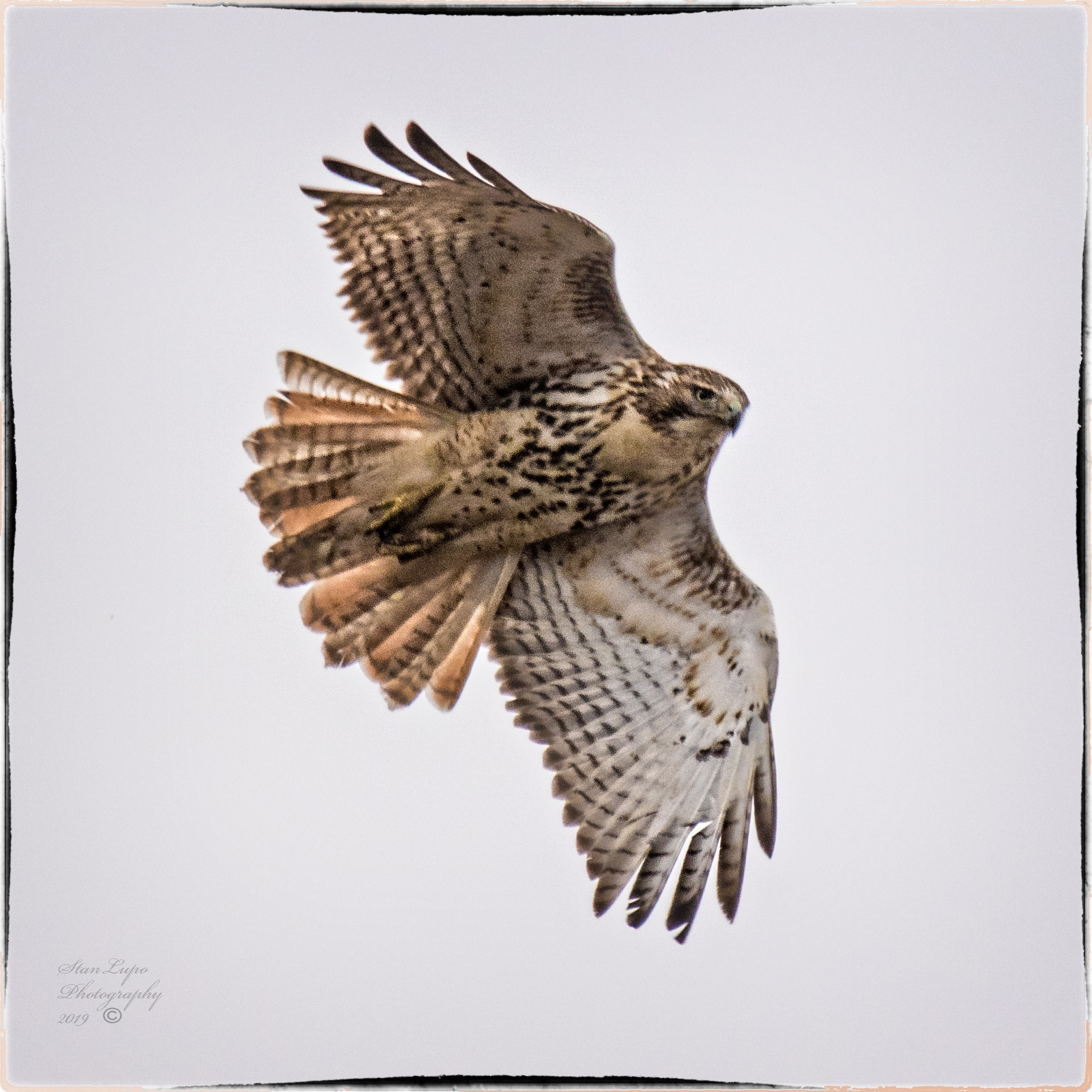 Red-tail In Flight by stanlupo