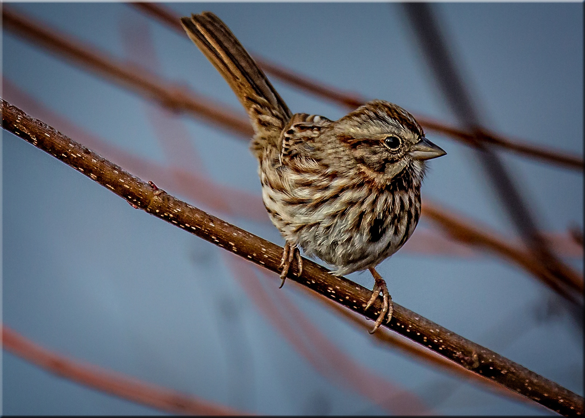 Song Sparrow On A Branch by stanlupo