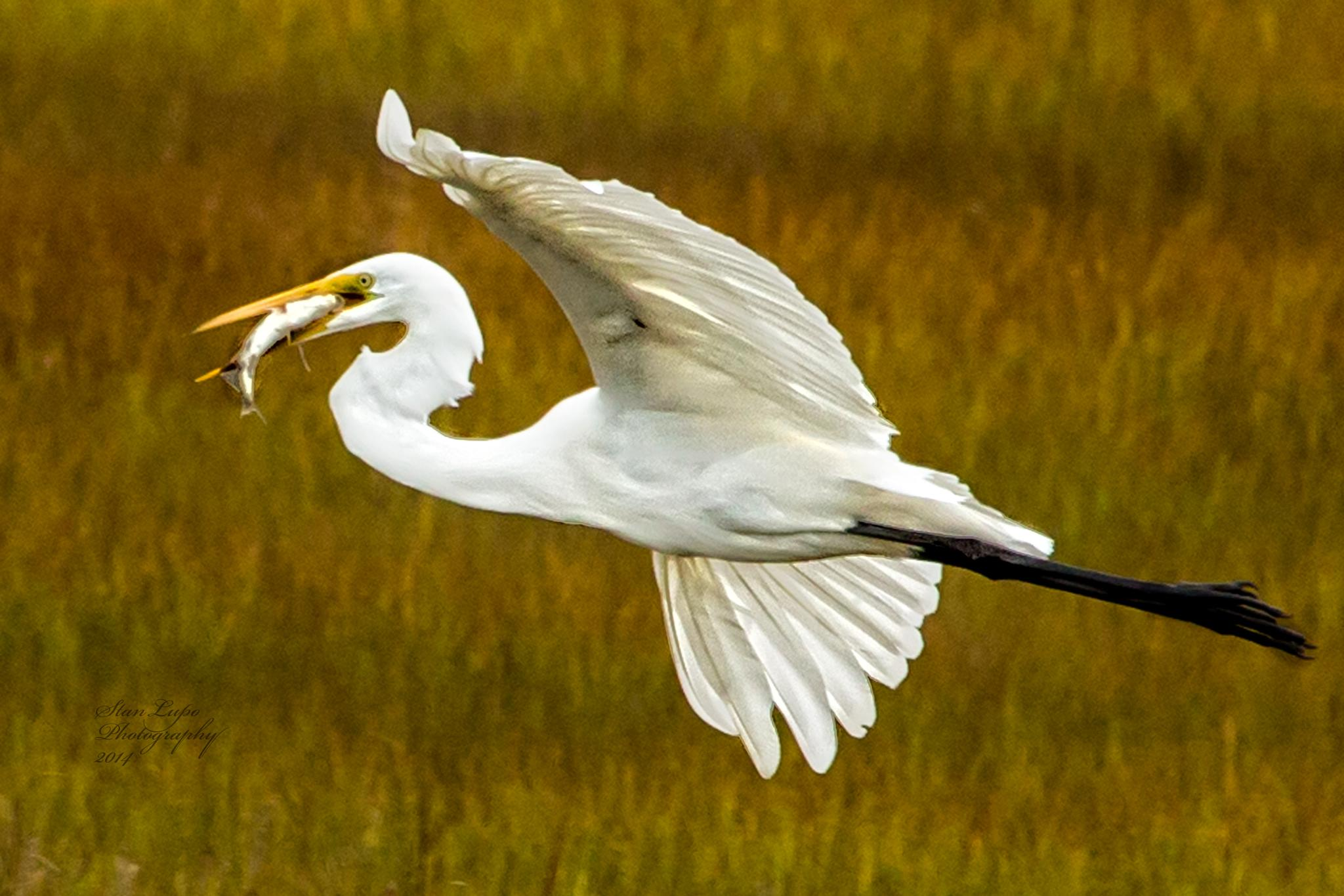 Great Egret With Fish by stanlupo