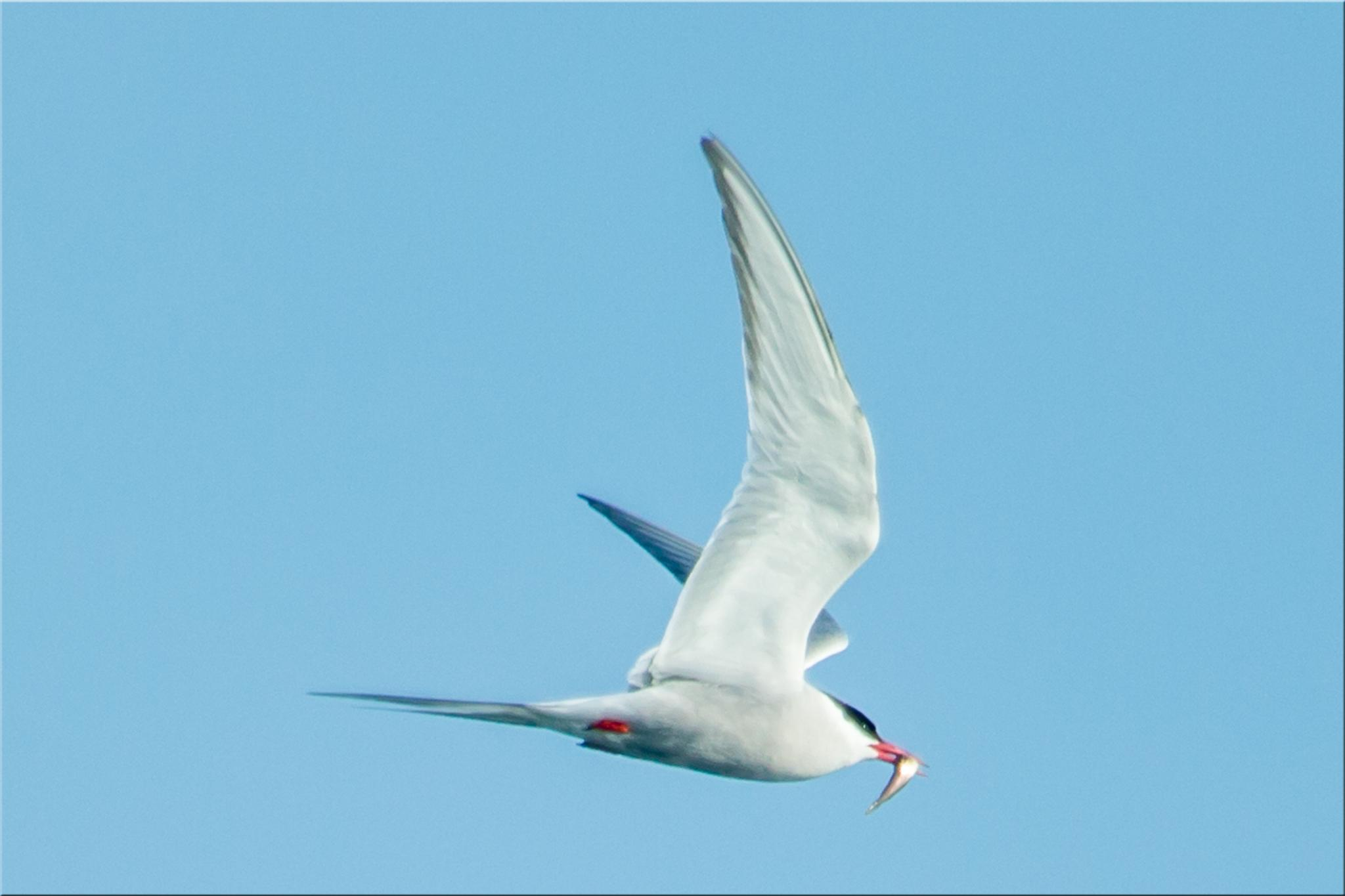 Tern With Fish by stanlupo