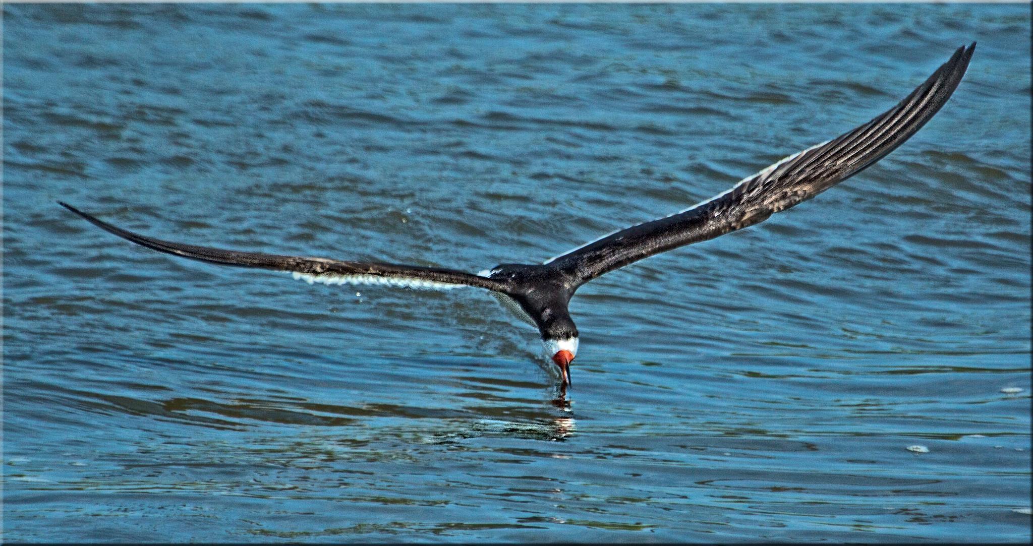 Black Skimmer Skimming by stanlupo