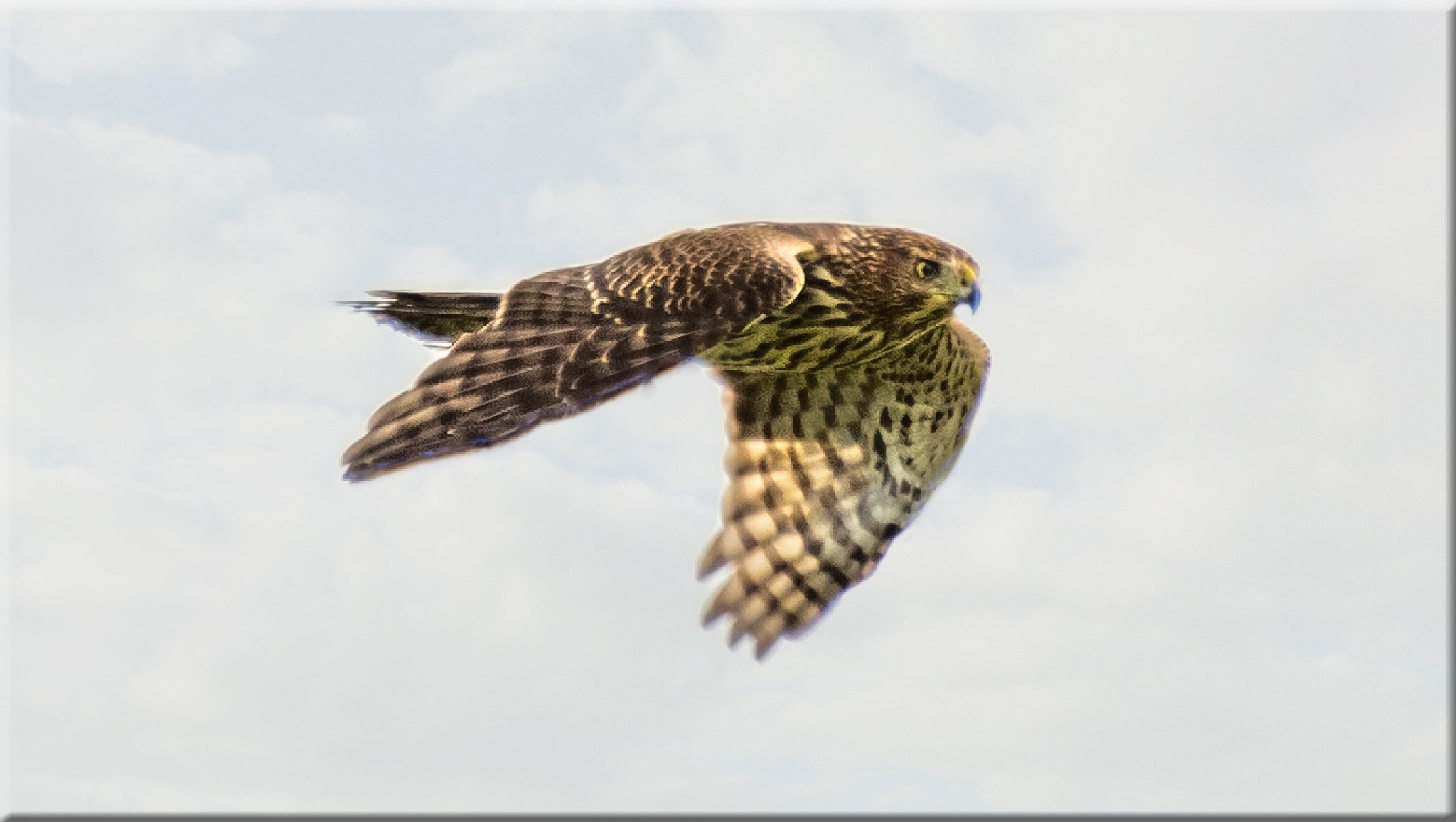Broad-winged Hawk in Flight by stanlupo