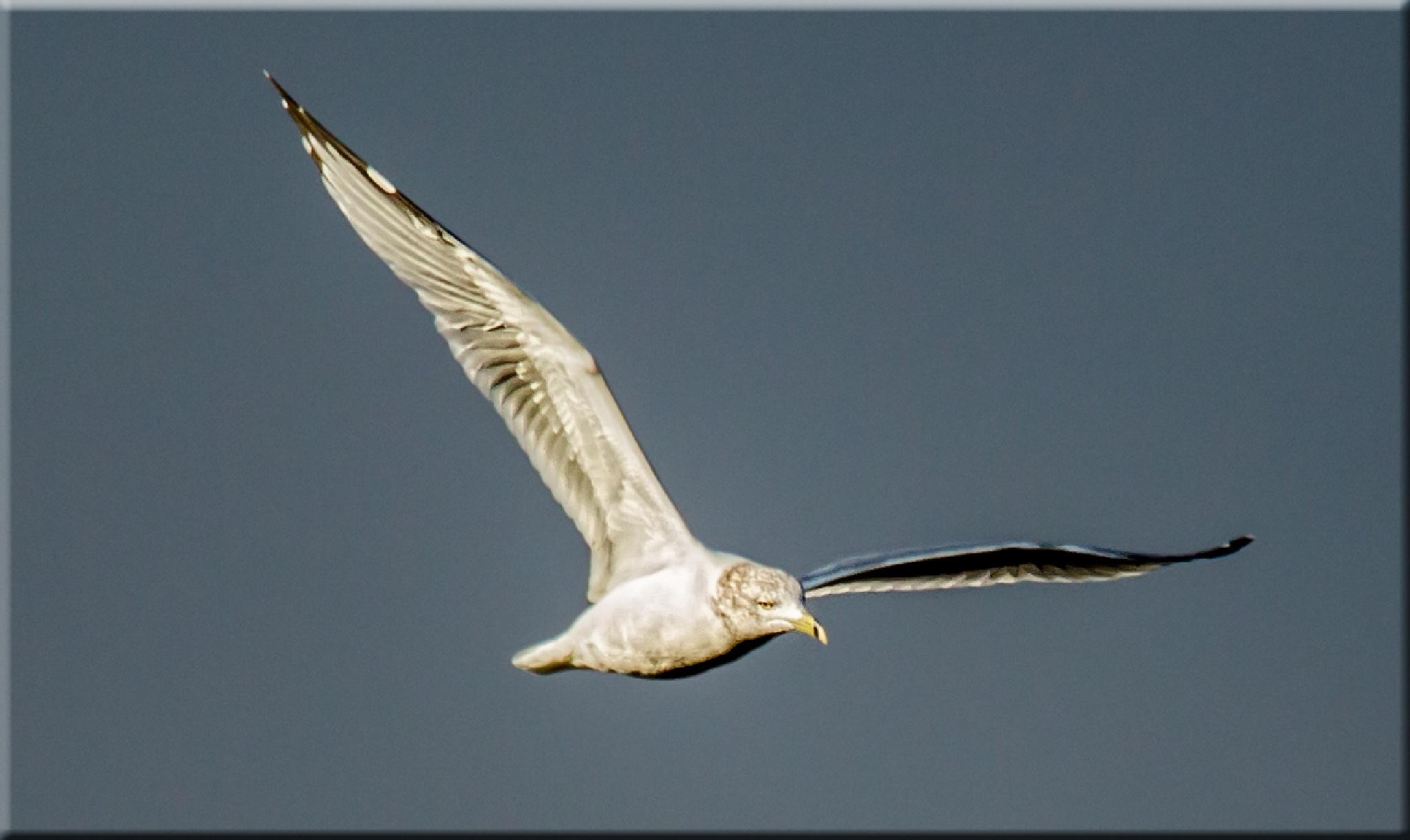Ring-billed Gull in Flight  III by stanlupo