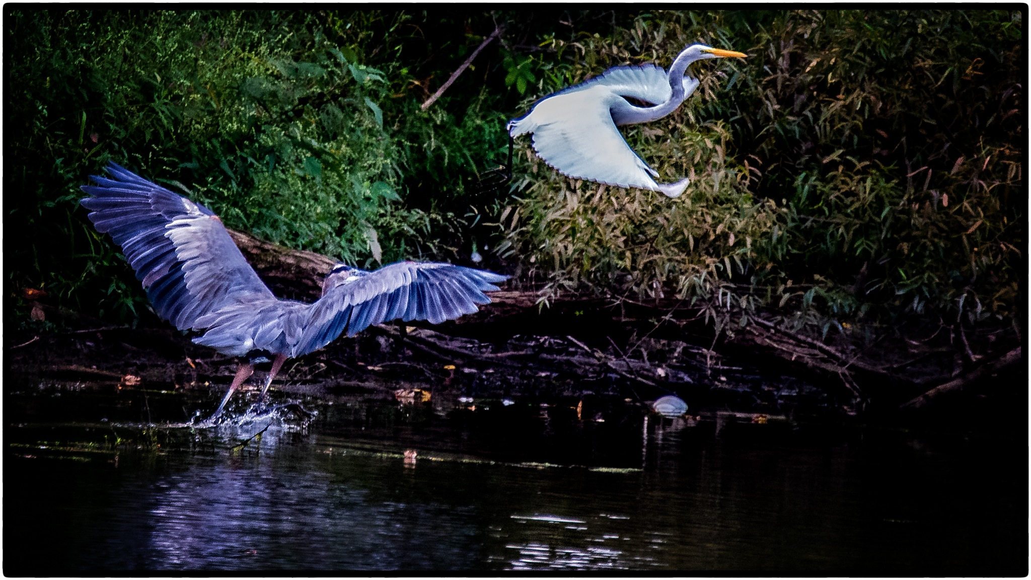 Heron Chase by stanlupo
