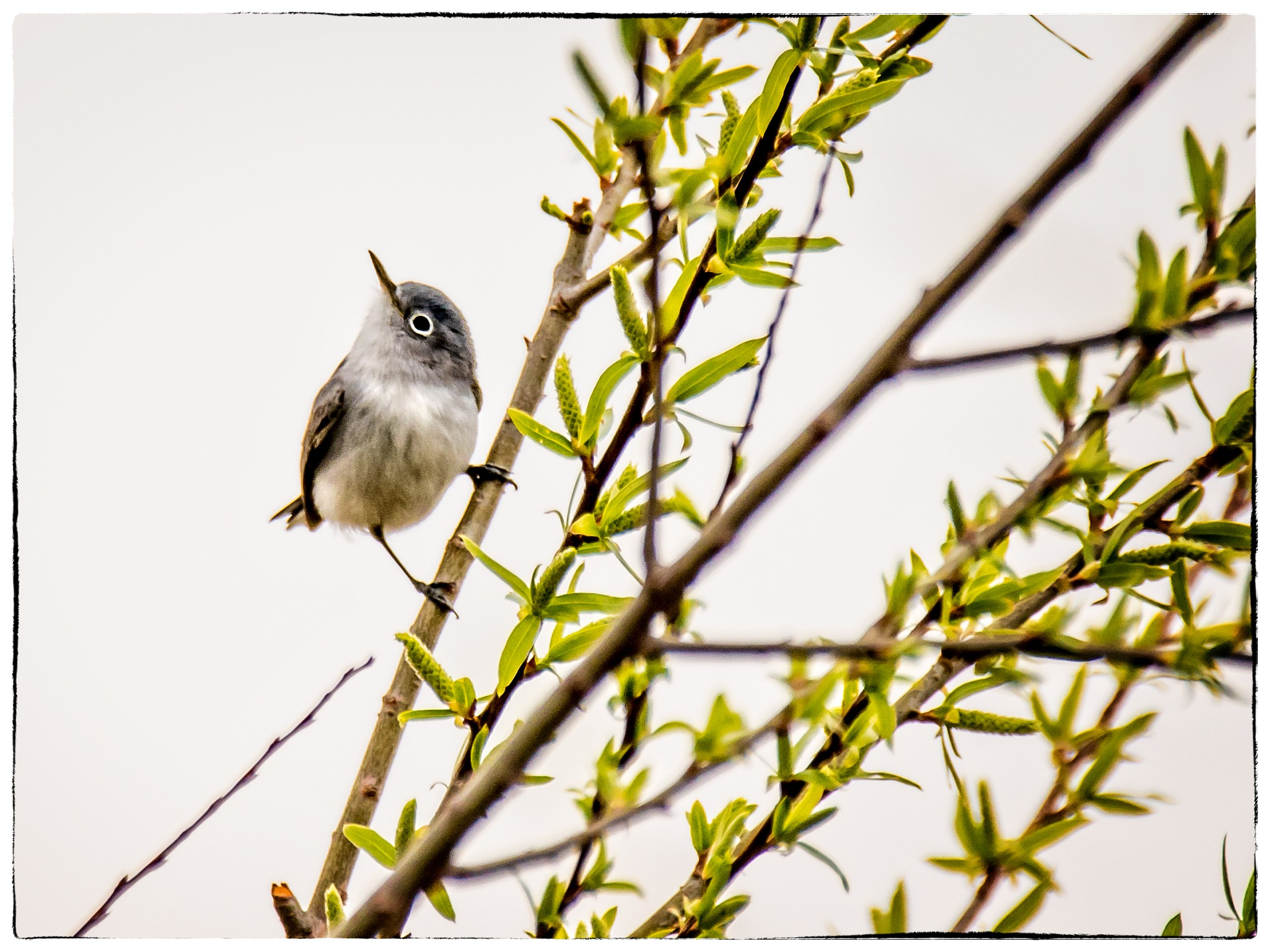 First Blue-gray Gnatcatcher Of The Year by stanlupo