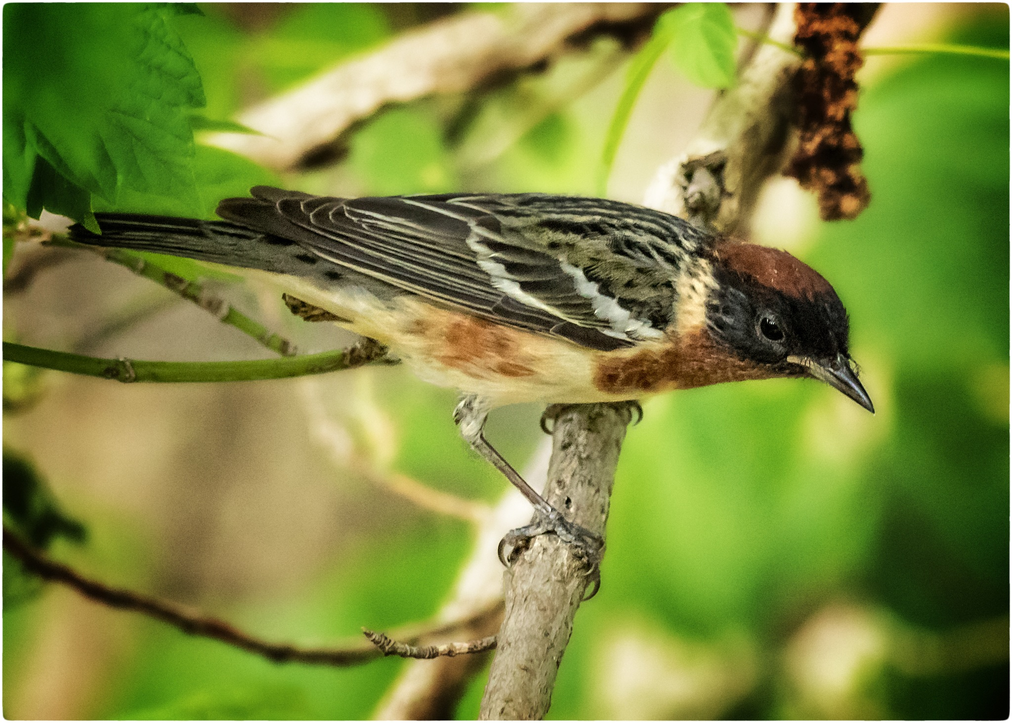 Bay-breasted Warbler (male)  by stanlupo