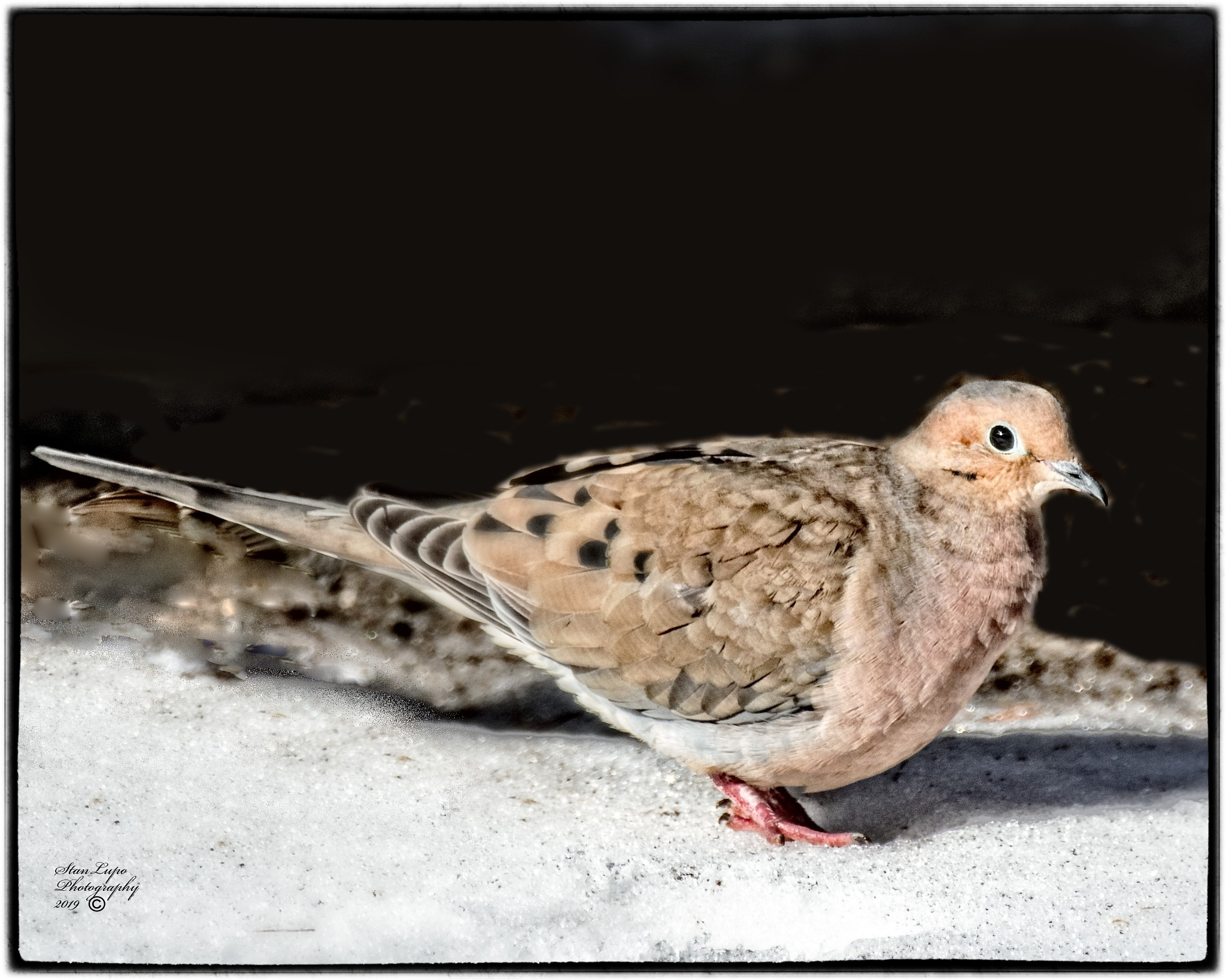 Photo in Nature #avians #avian art #avian photography #birds #birds as art #bird photography #dove #mourning dove #nature #outdoors #snow #wildlife #winter