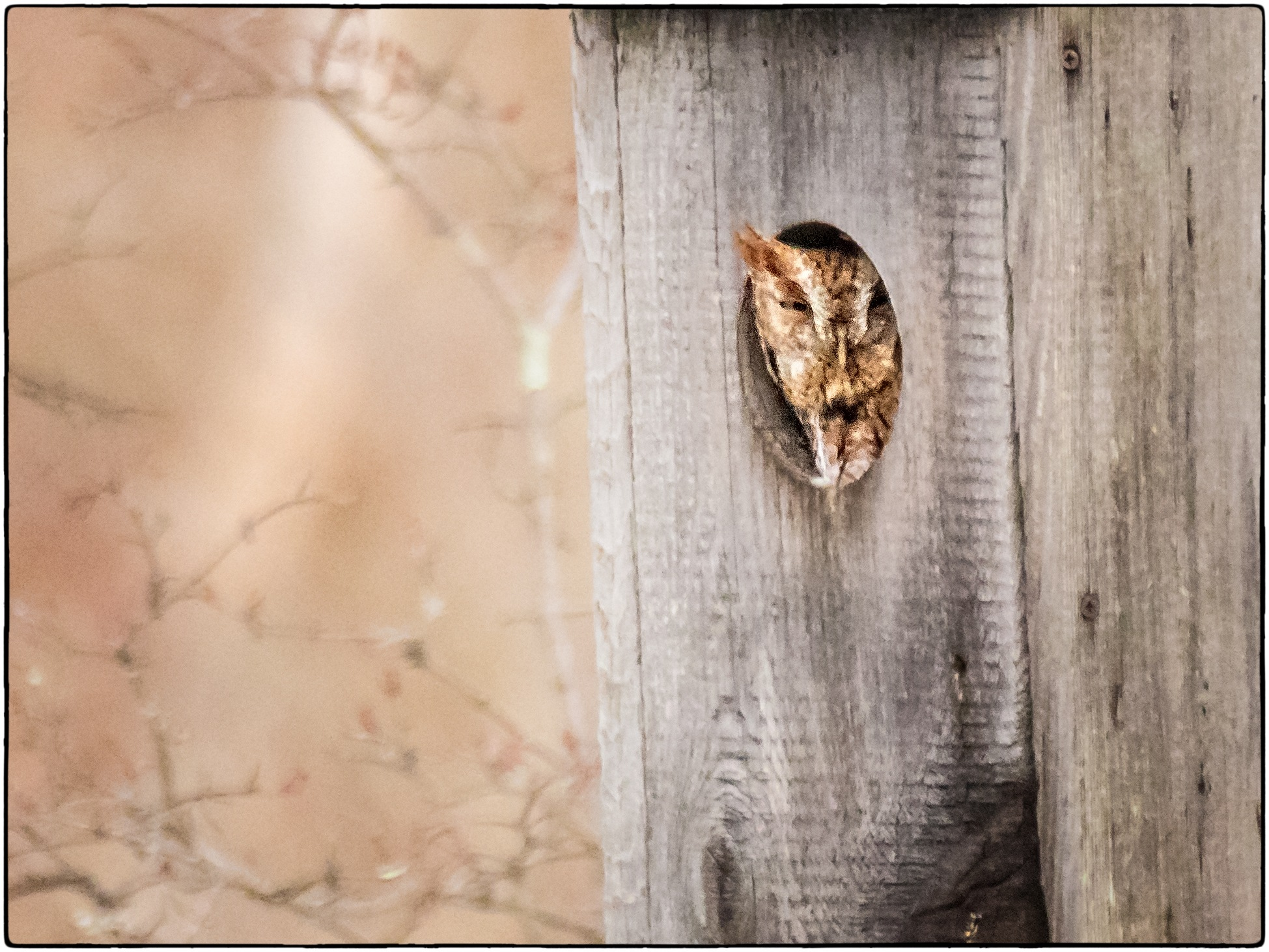 Screech Owl in Box by stanlupo