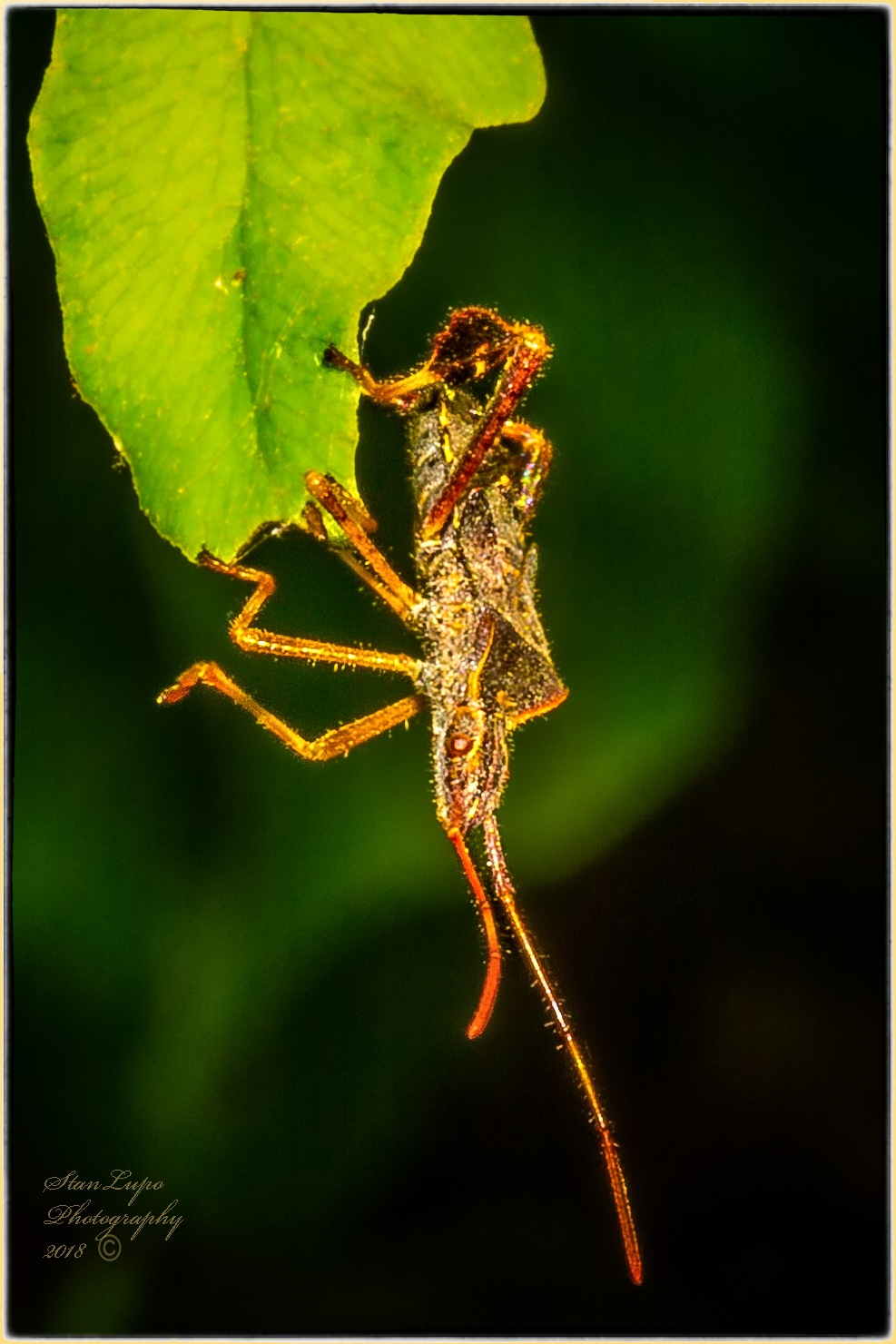Leaf-footed Bug Hanging On To Leaf With Leaf-feet by stanlupo
