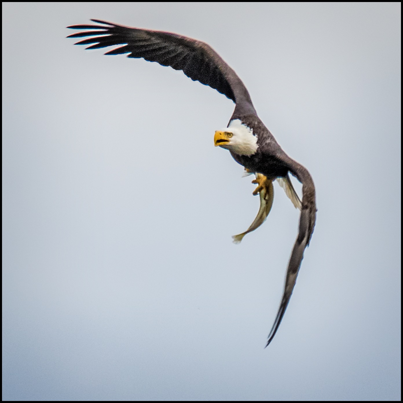 Bald Eagle With A Big Fish III by stanlupo