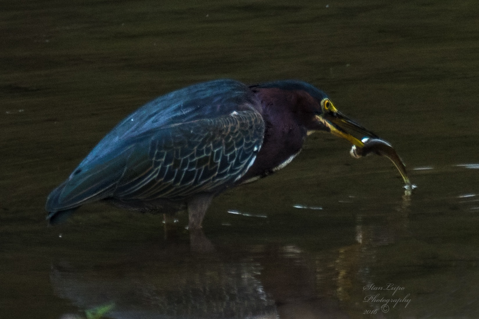 Green Heron and Fish by stanlupo