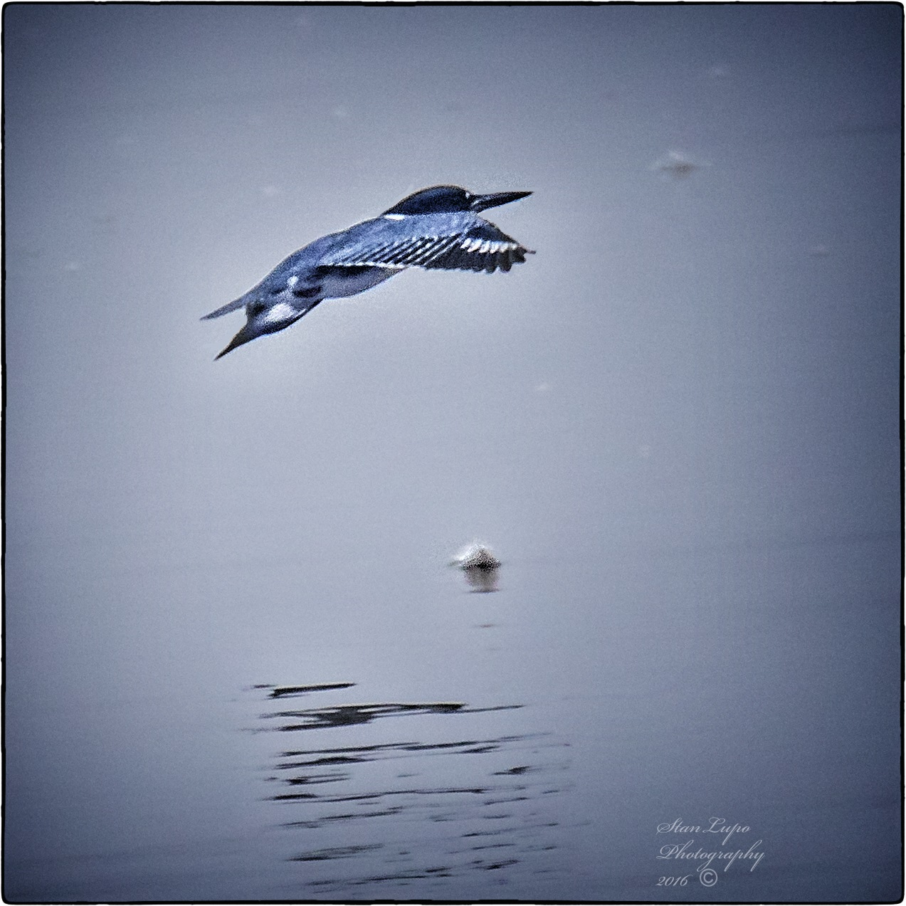 Flying Kingfisher and Feather by stanlupo