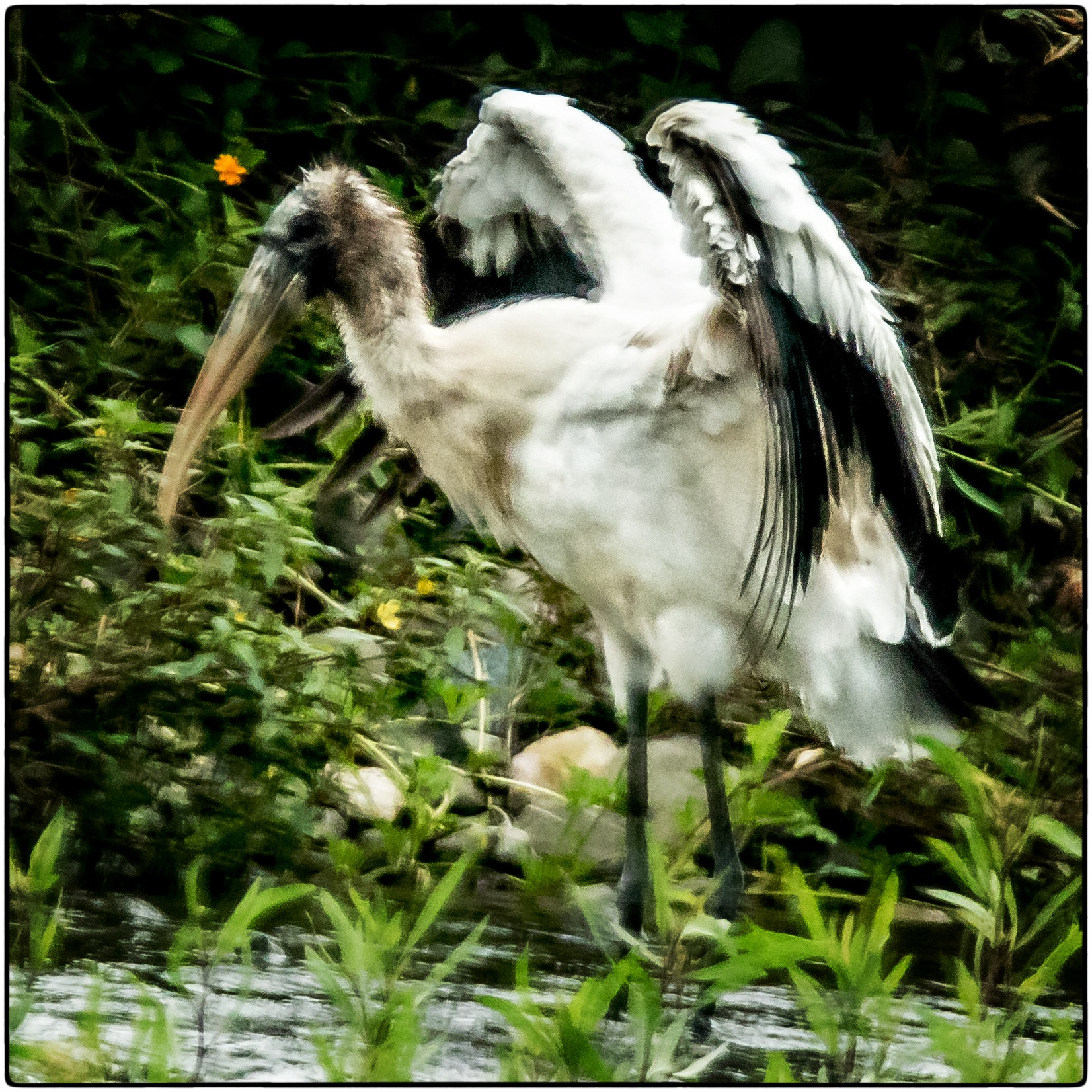 A Wood Stork by stanlupo