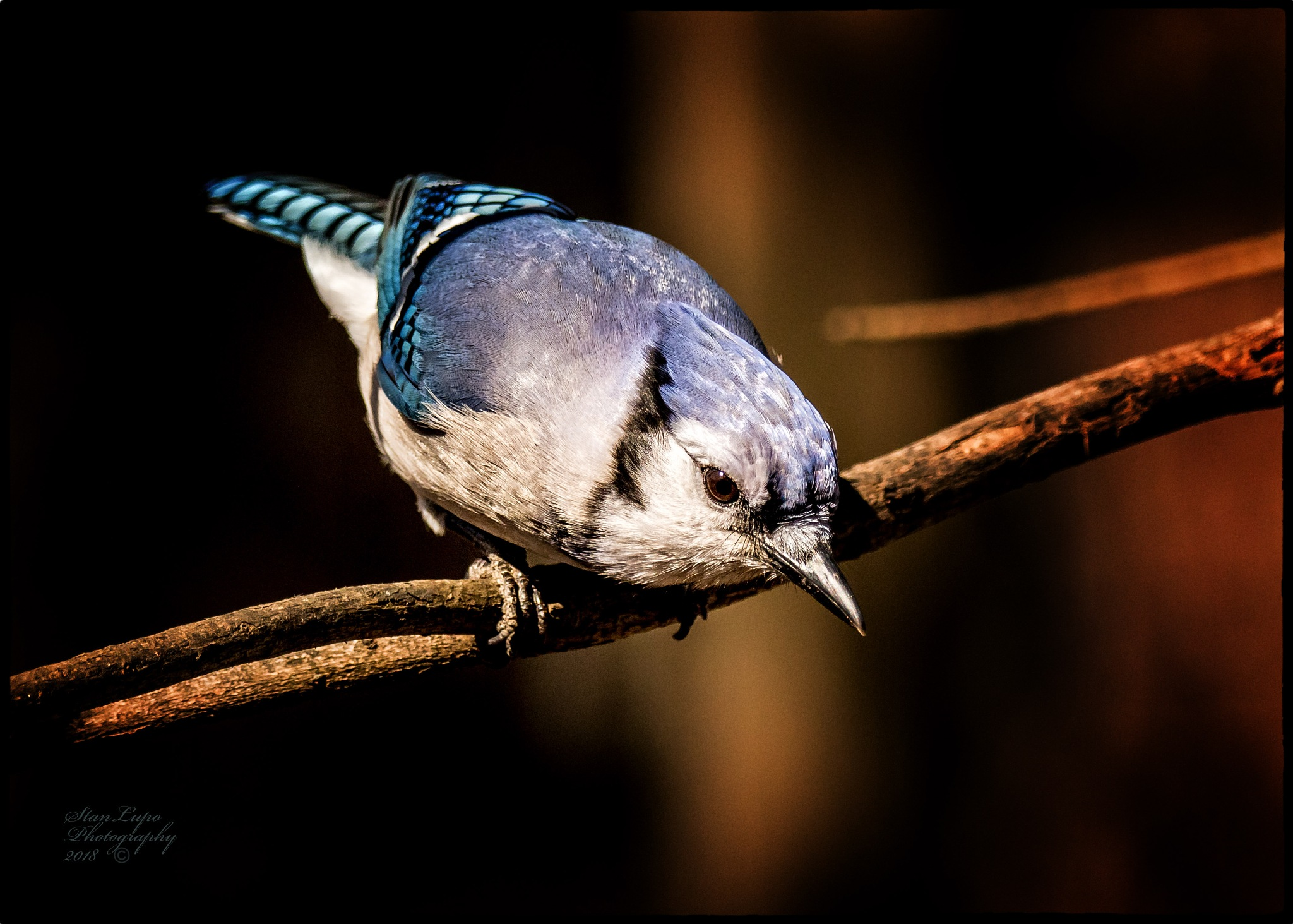 Blue Jay (Cyanocitta cristata) II by stanlupo