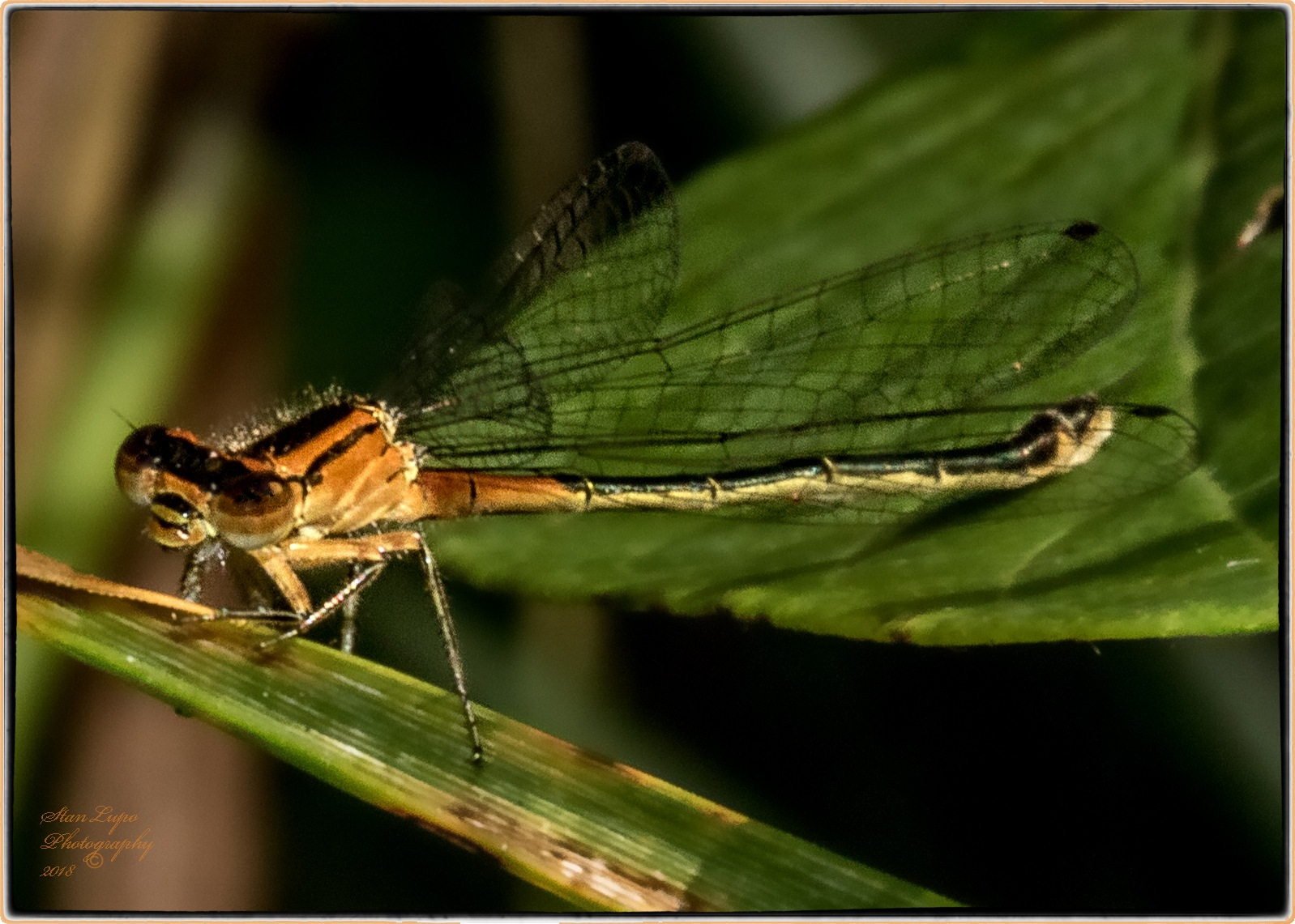 Orange and Black Damselfly by stanlupo