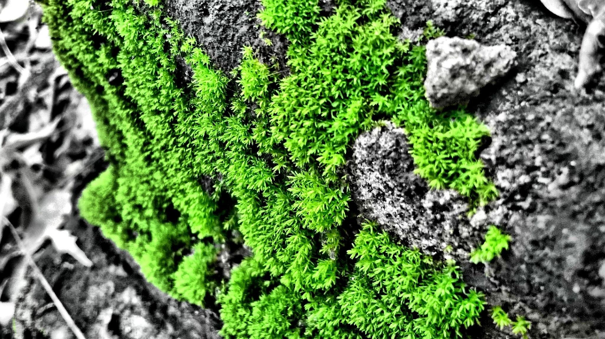 Green Algae by Shahul Rahman