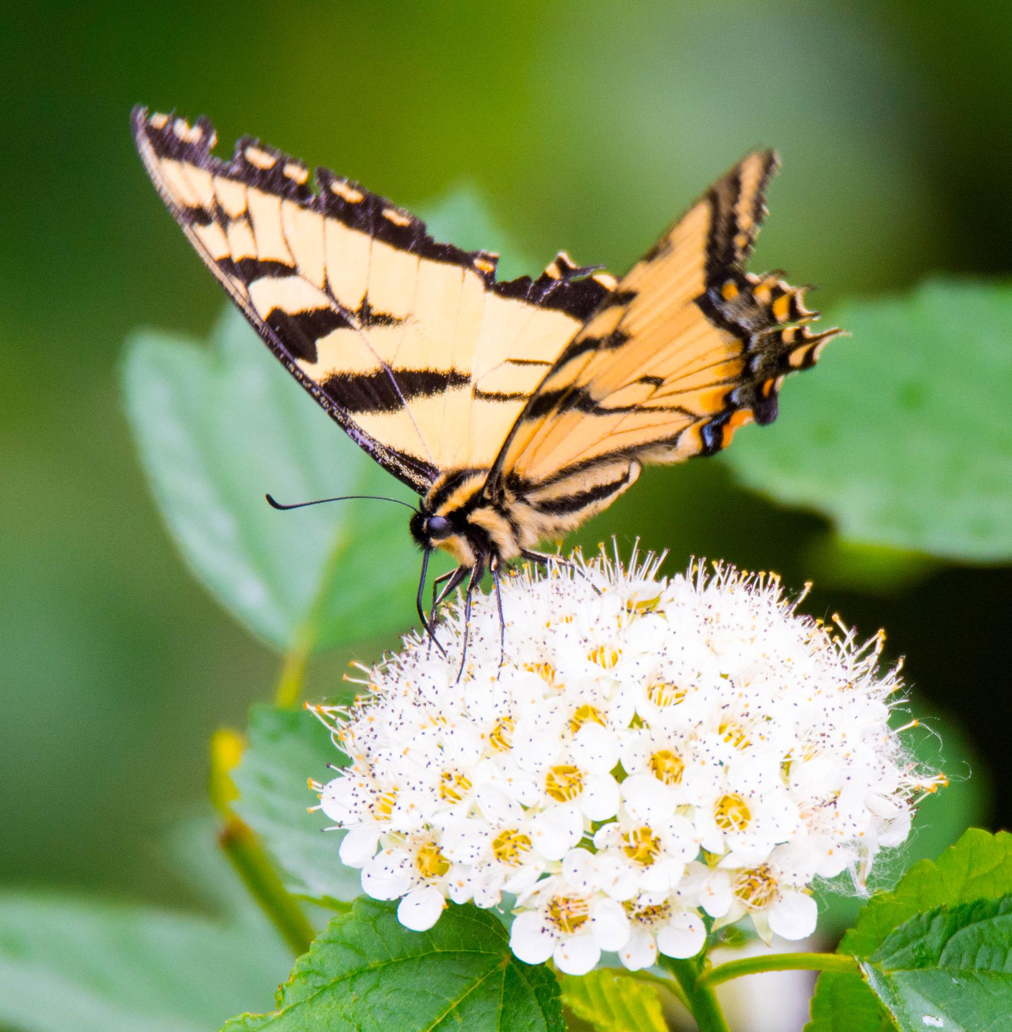Swallowtail on a single Tree blossom  by Wilma Michel