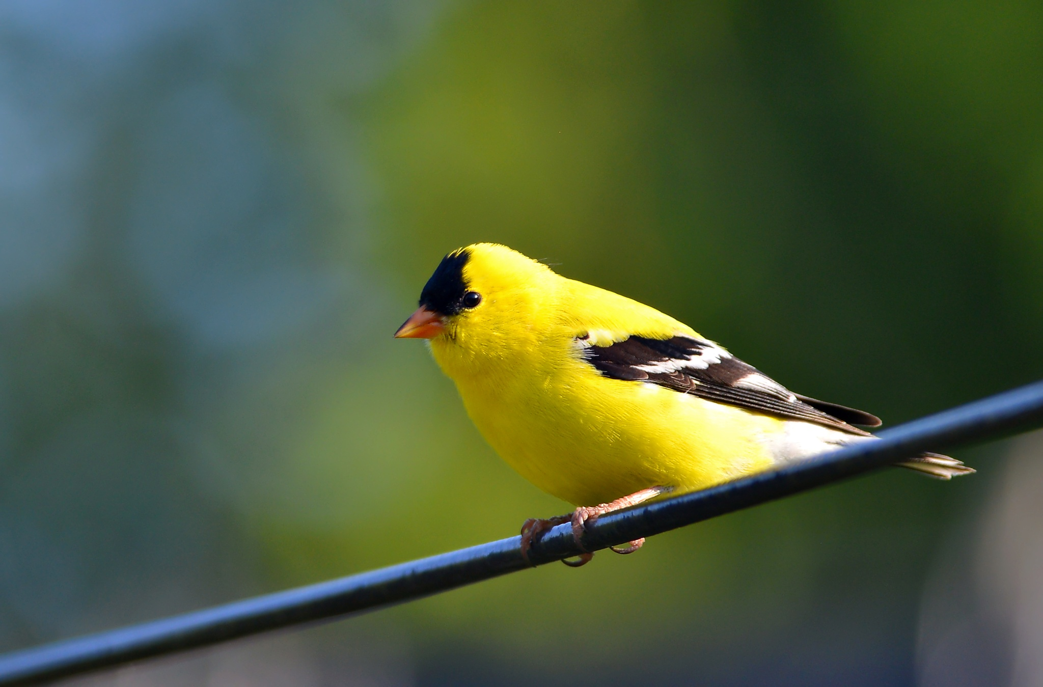 Yellow Finch by DL