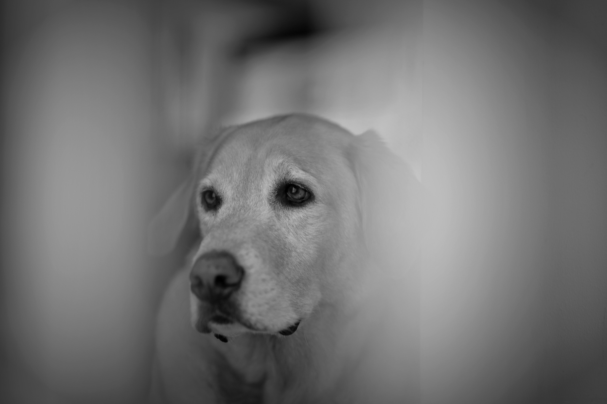 Labrador Retriever by DL