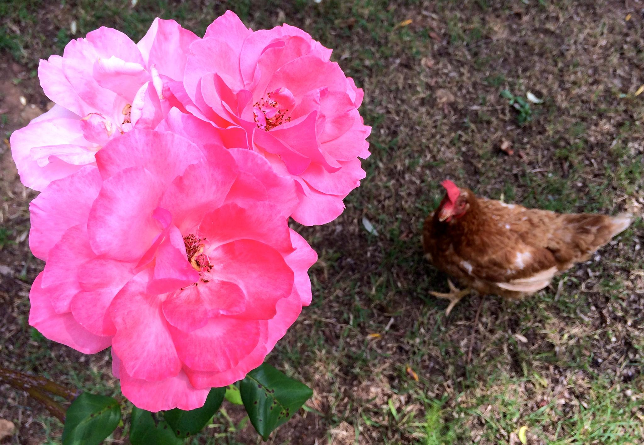 rose and a hen by m.etemadieh