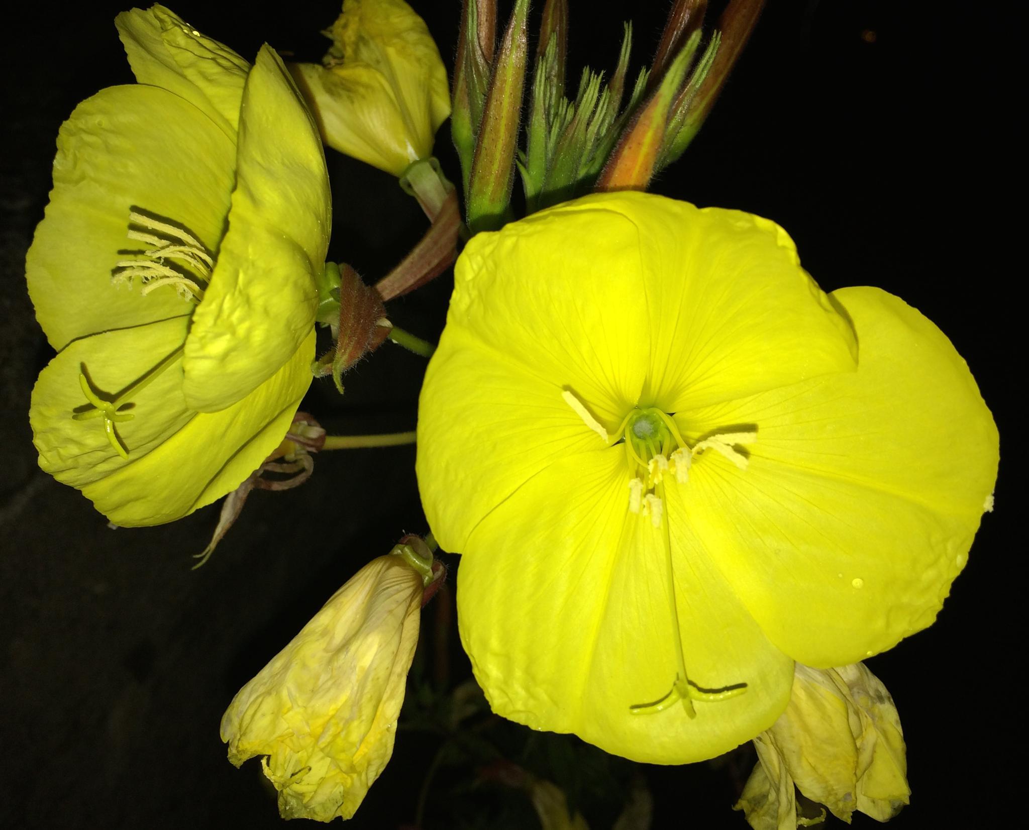 evening primrose at night by m.etemadieh
