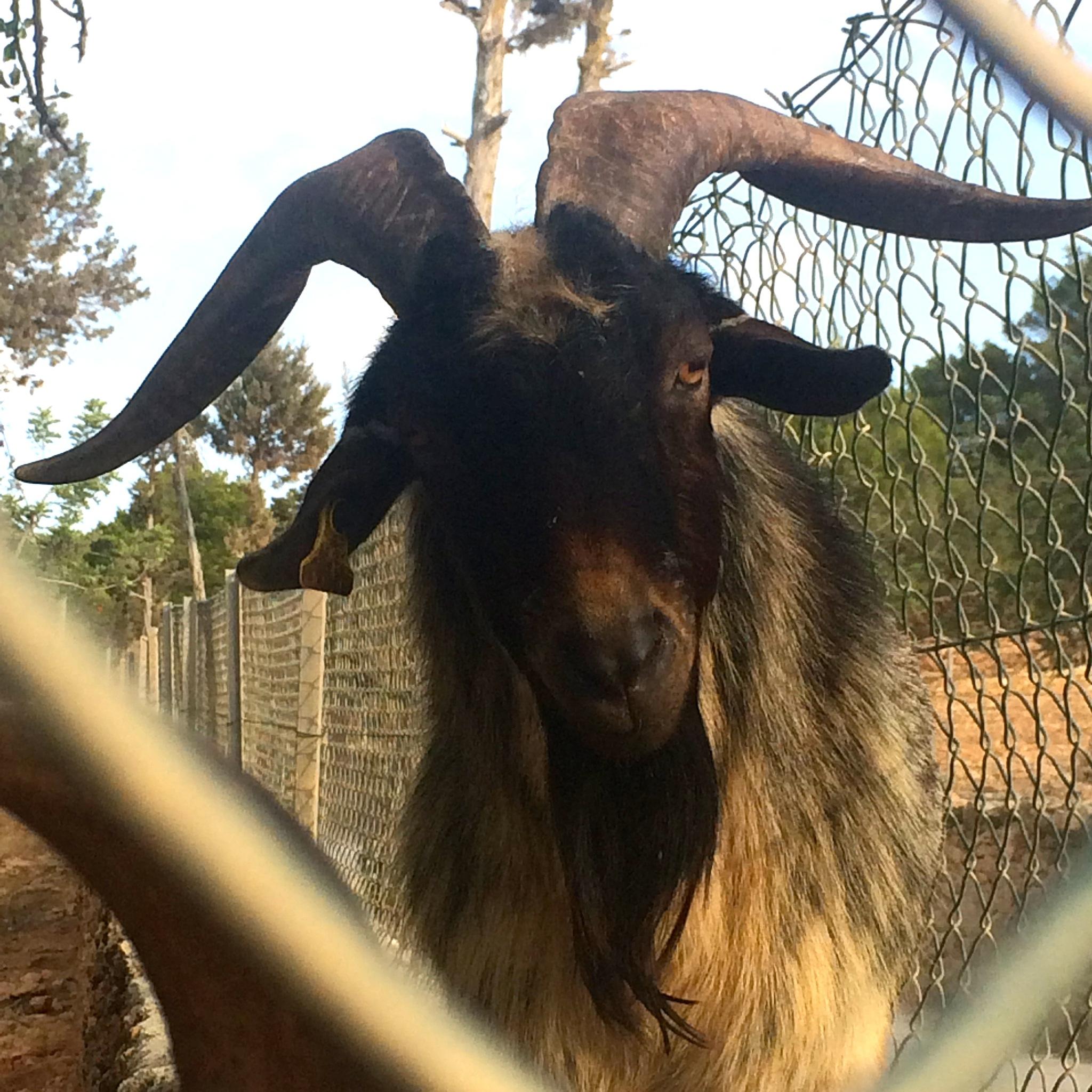 hello Mr. Goat by m.etemadieh