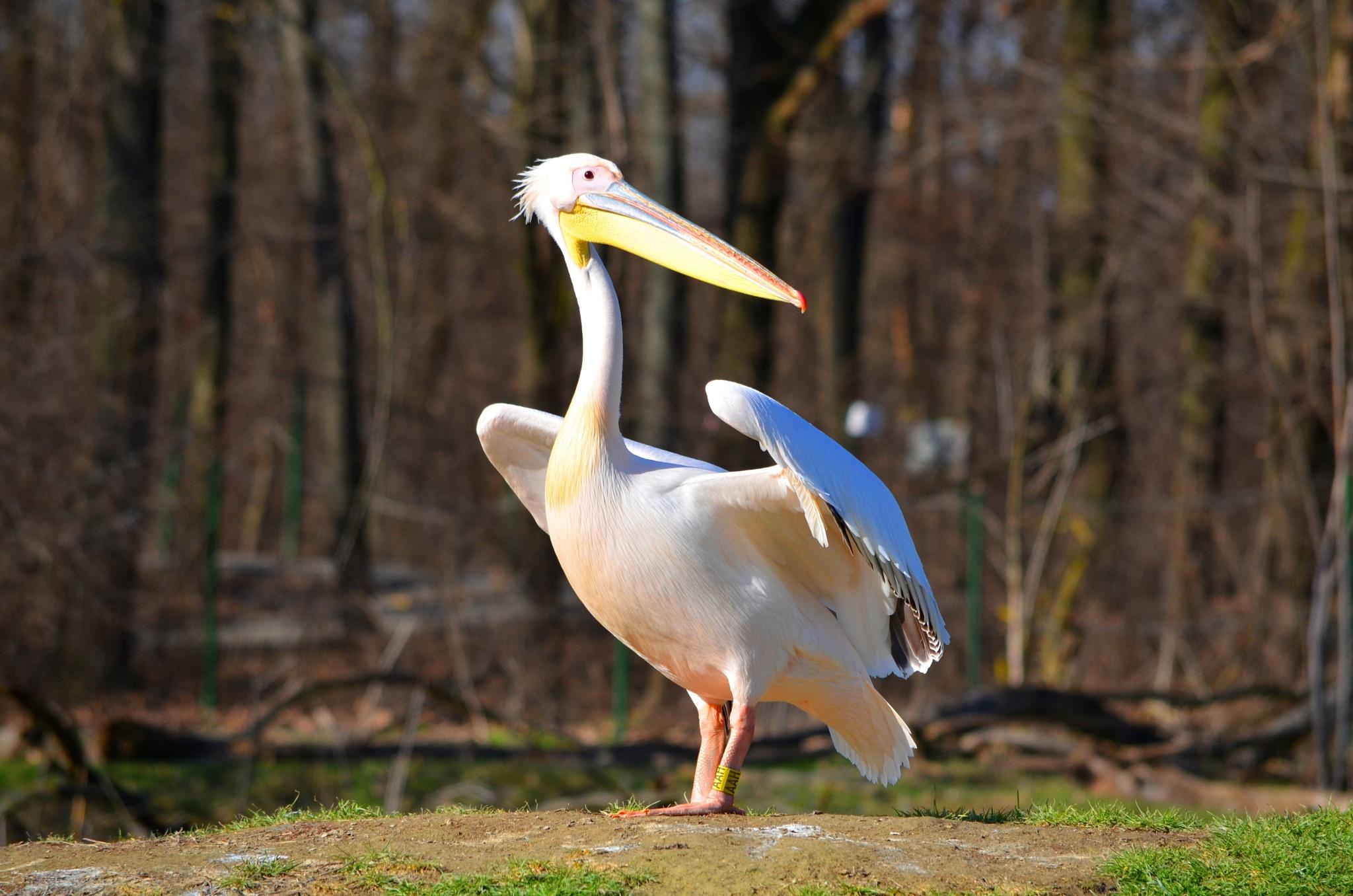 pelican #oo1 by bogins