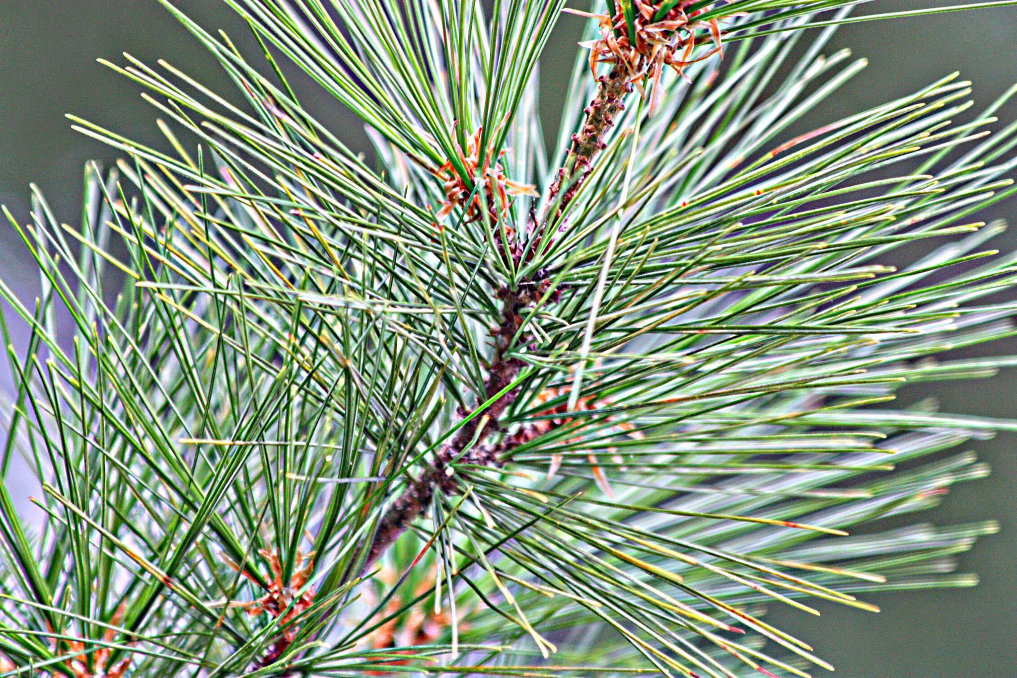 Pine by Jon Radtke