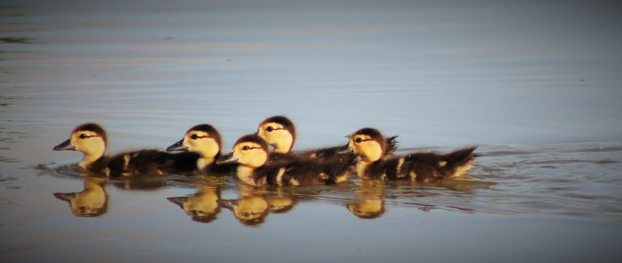 Double the ducklings by MORCINDERS