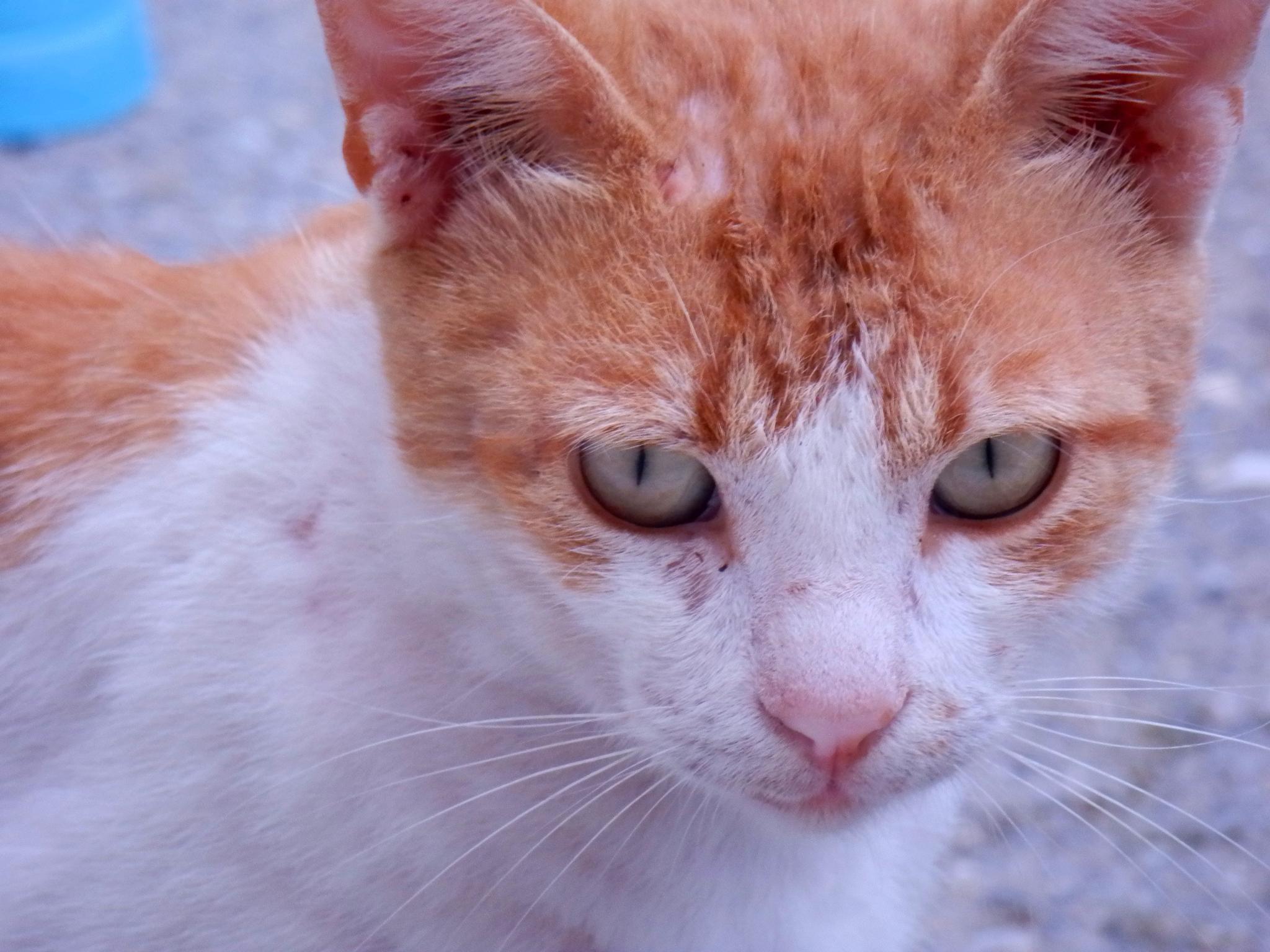 Portrait of a cat by Eirini Pyrovolaki