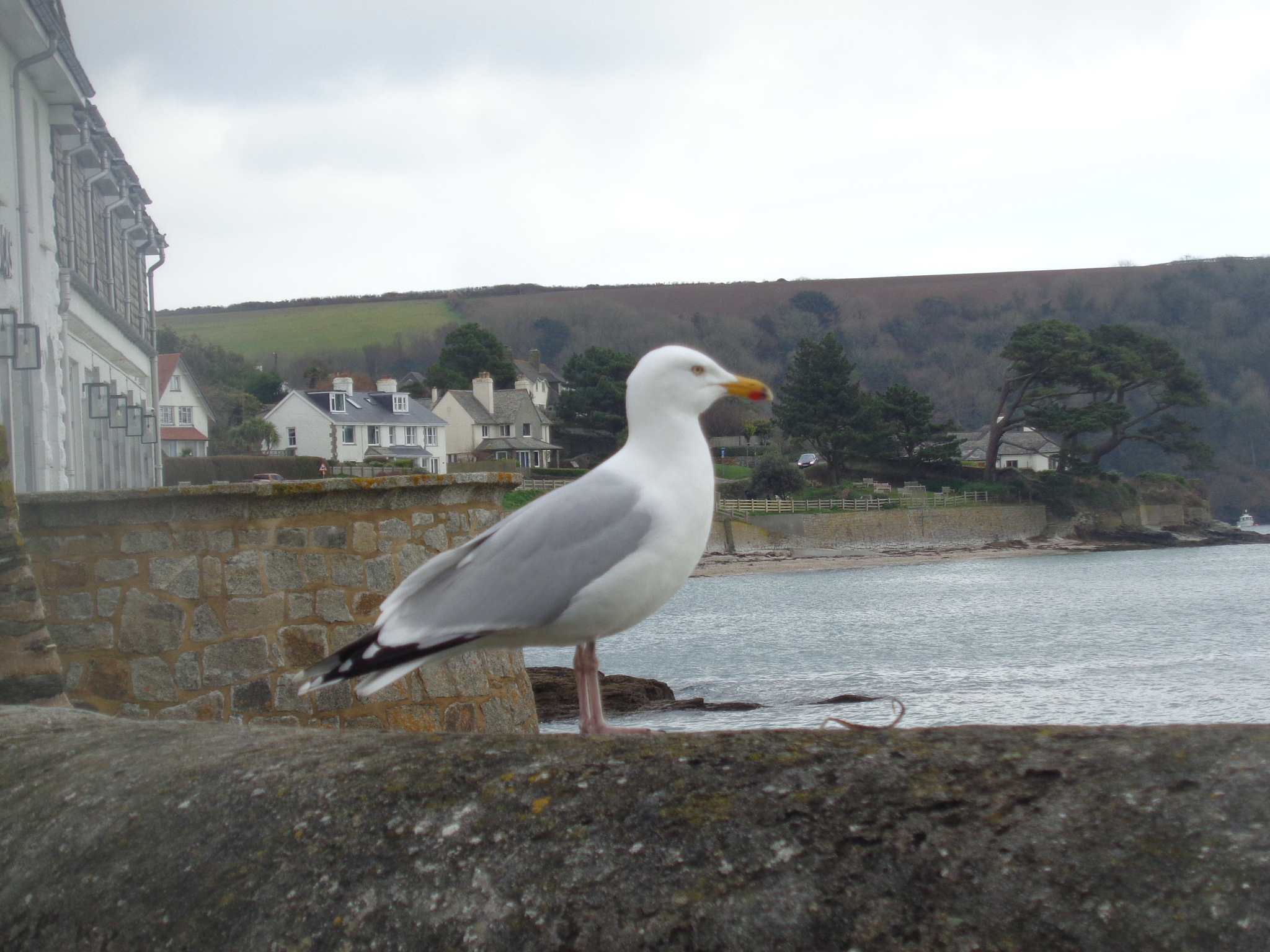 seagull  by traceybiddlecombe3666