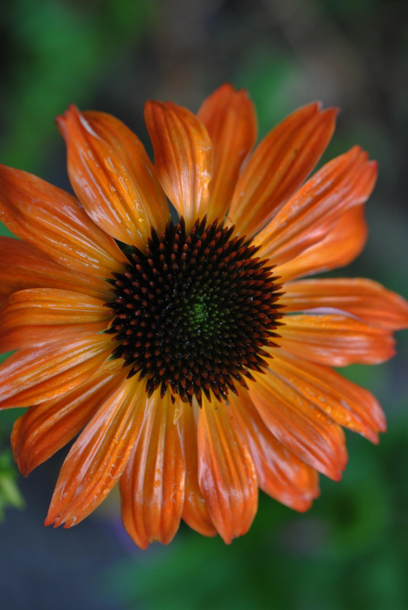 Orange Echinacea after the rain.. by Renee Norton