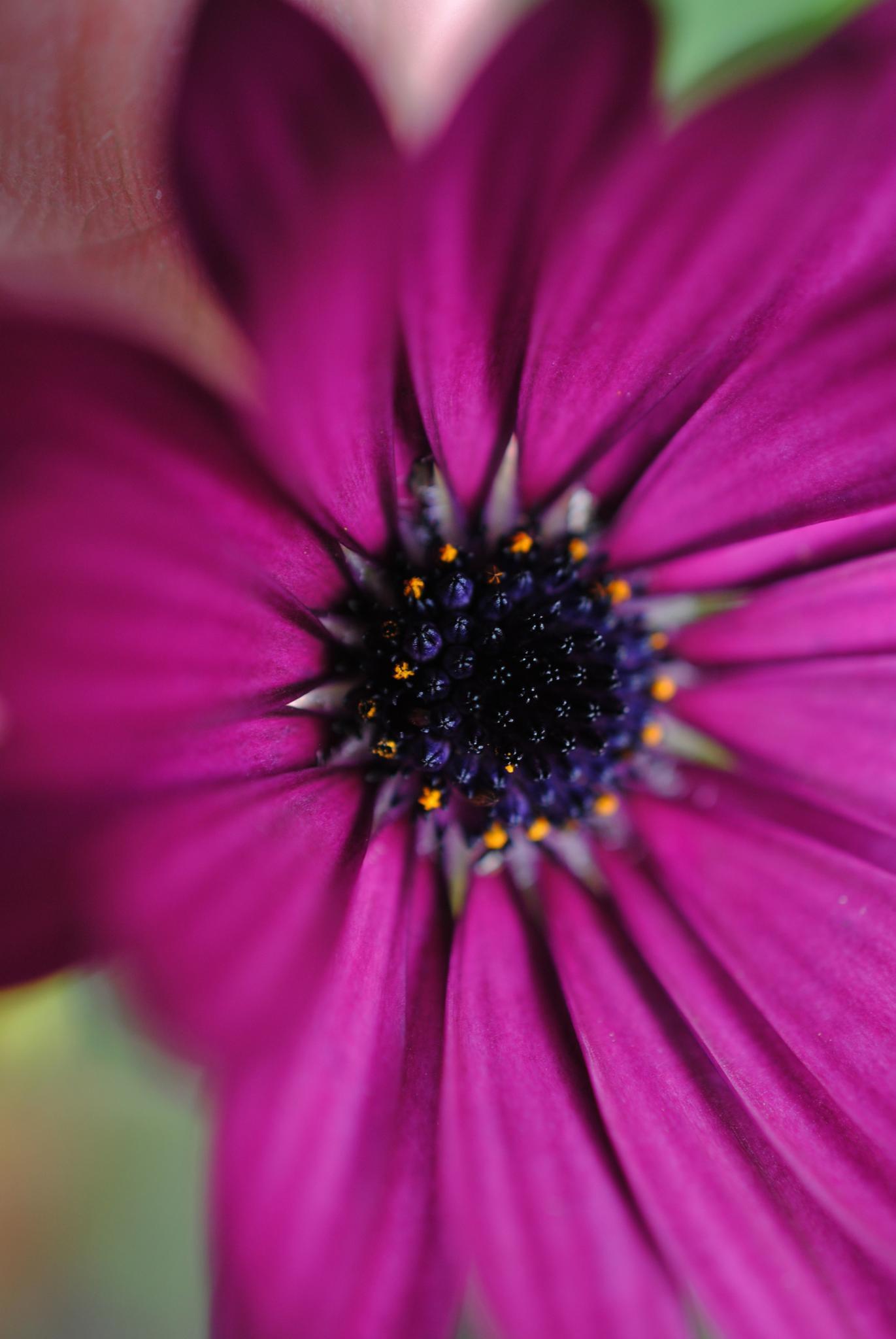 Purple african daisy by Renee Norton