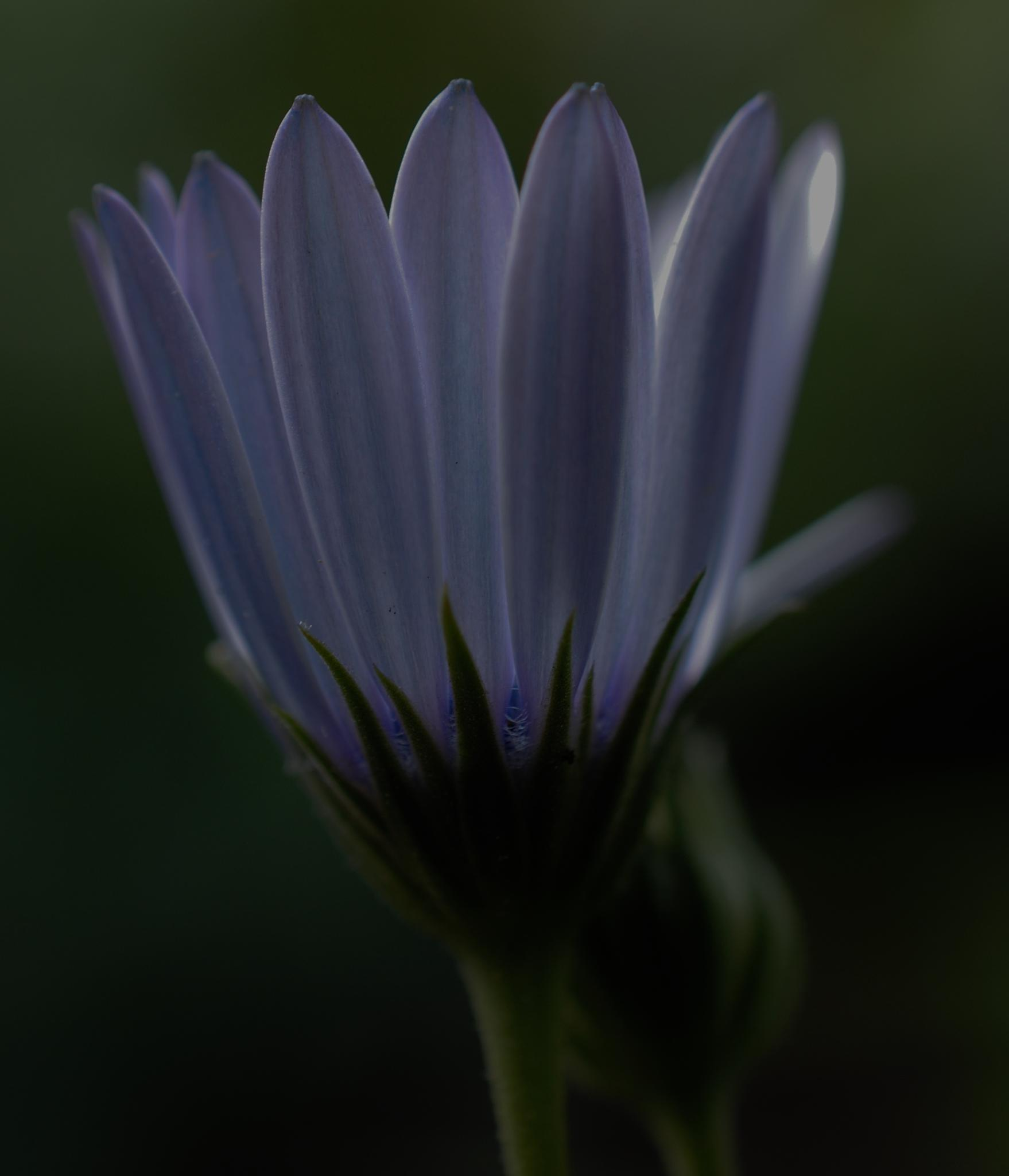 White and purple african daisy petals unfurling.. by Renee Norton