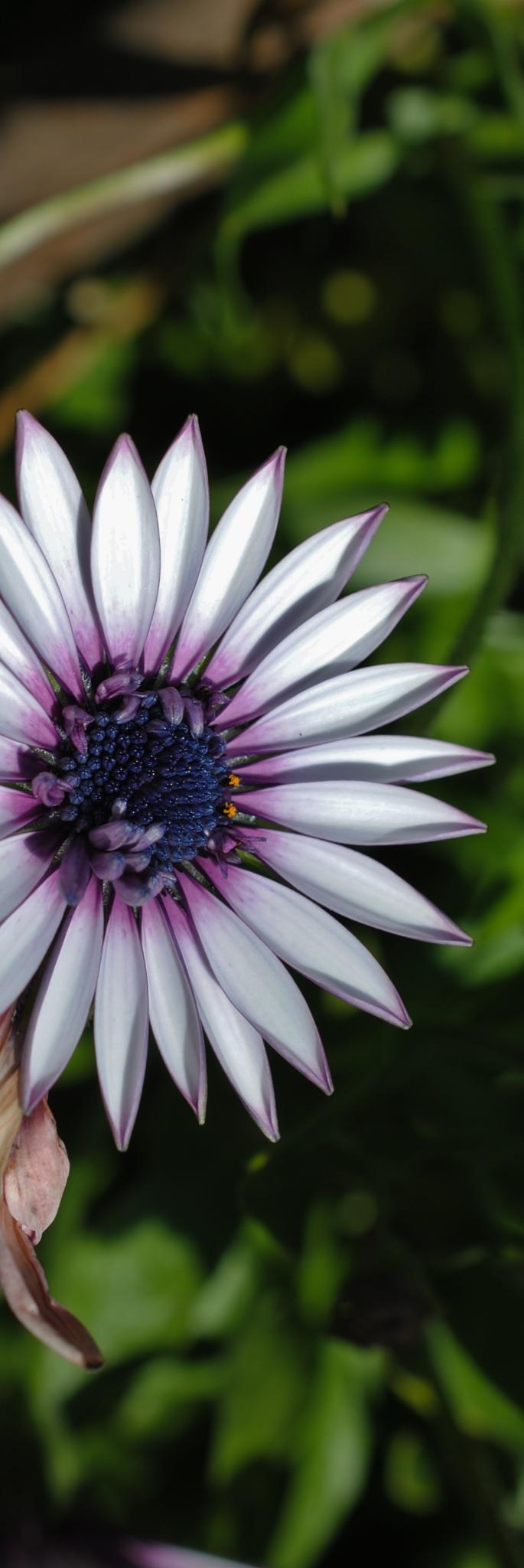 Purple and white african daisy.. by Renee Norton