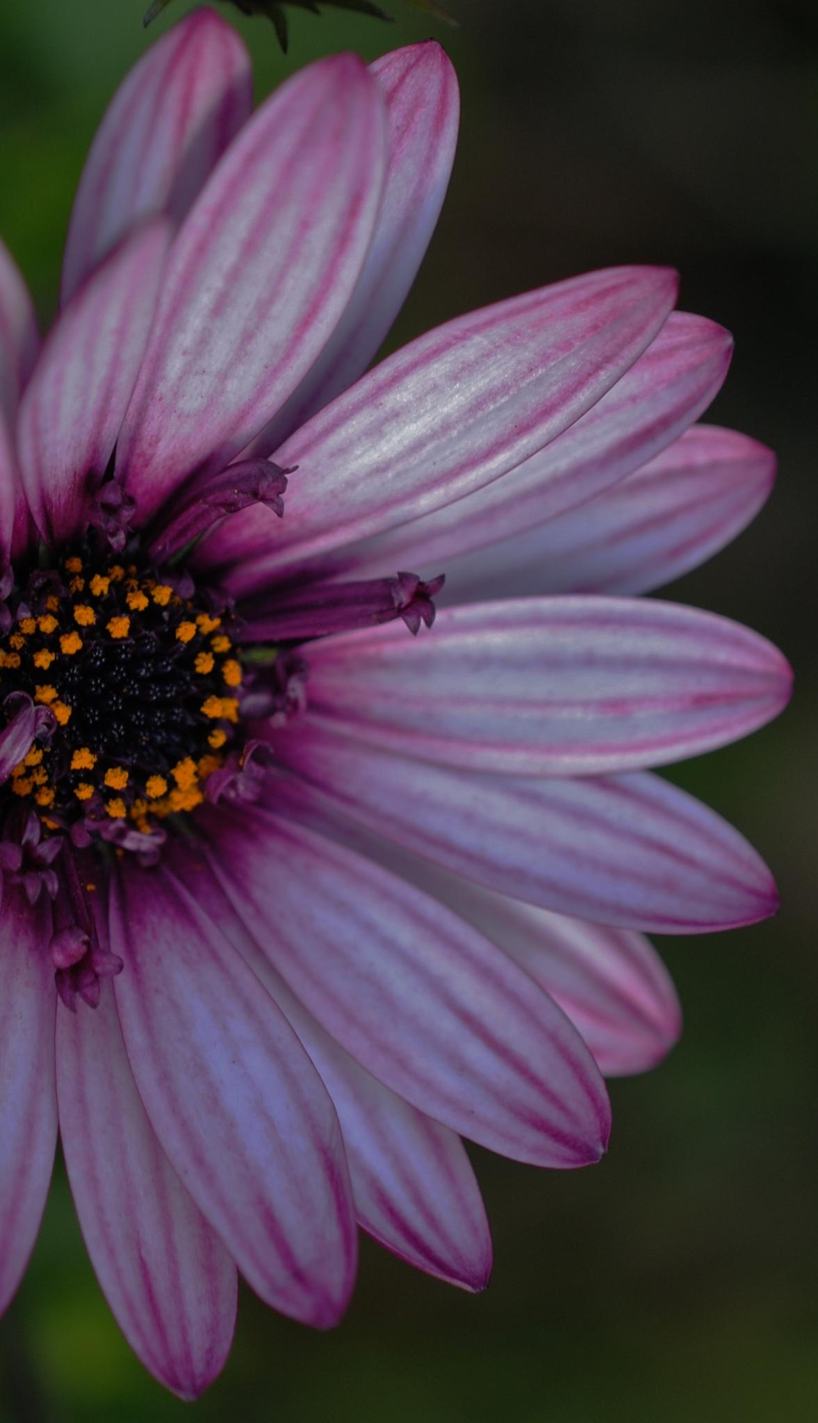 Pink and white african daisy.. by Renee Norton