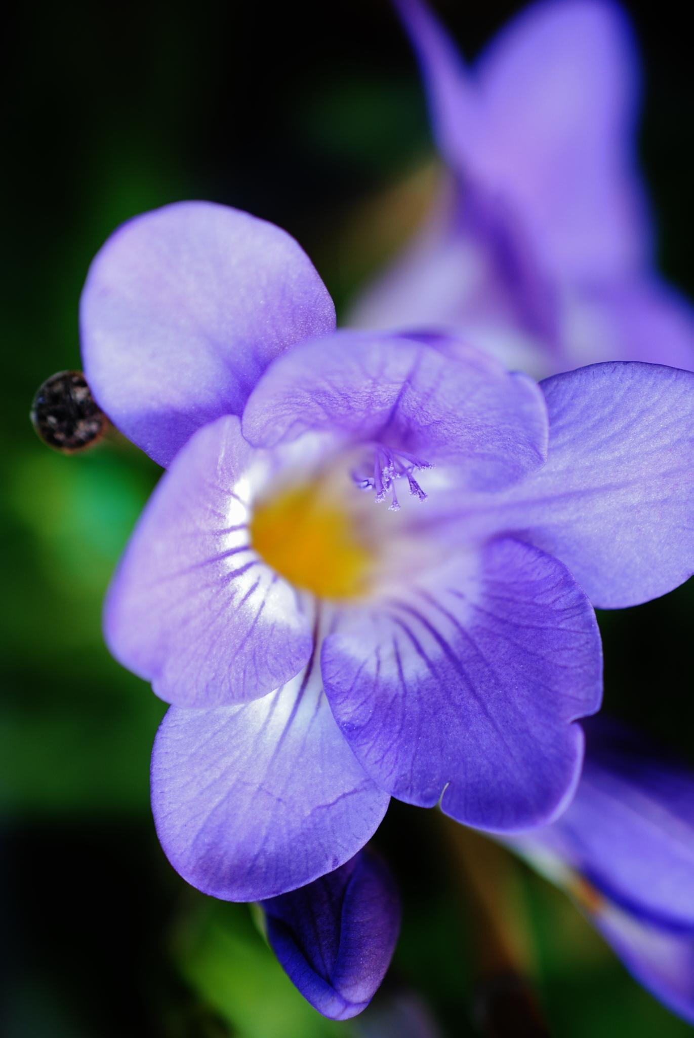 Purple Freesia.. by Renee Norton