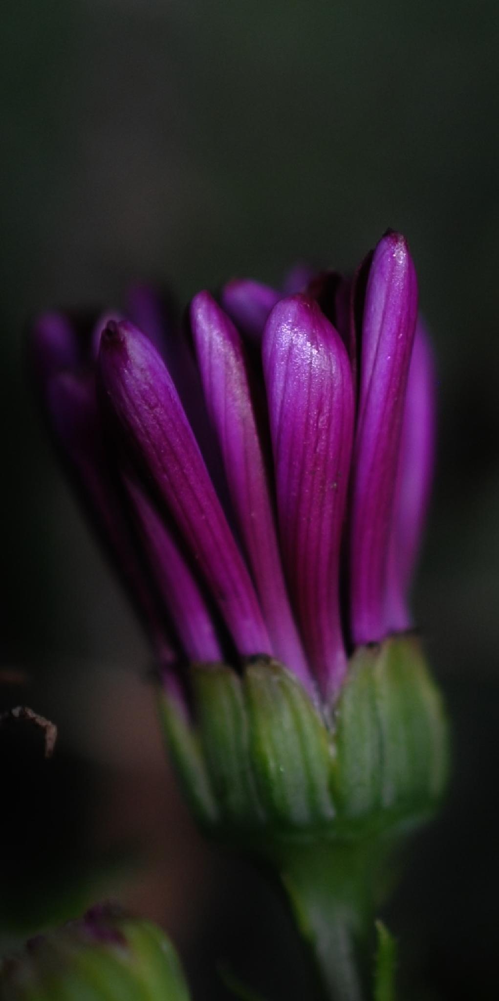 purple Cineraria Flower.. by Renee Norton