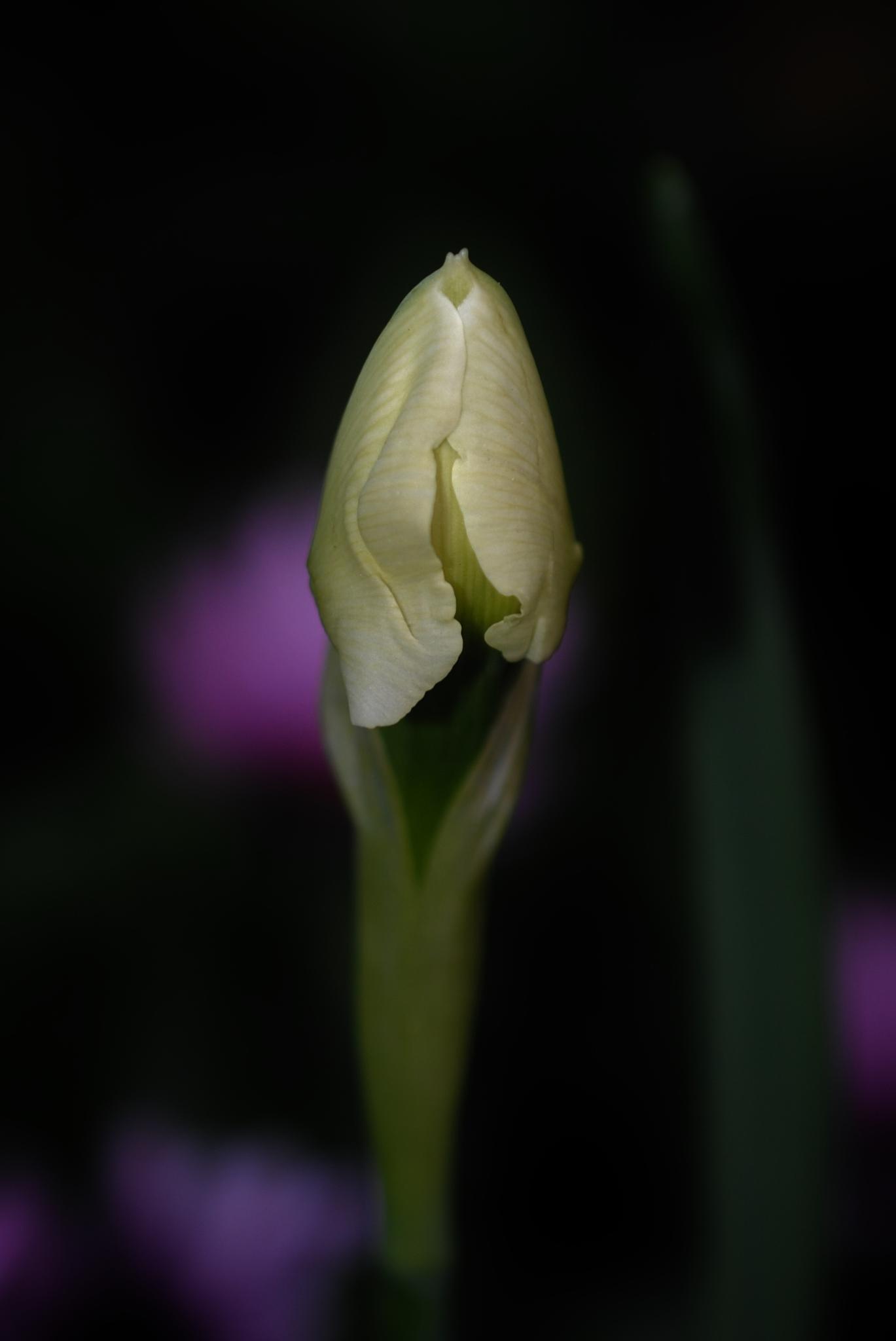 Daffodil Unfurling.. by Renee Norton