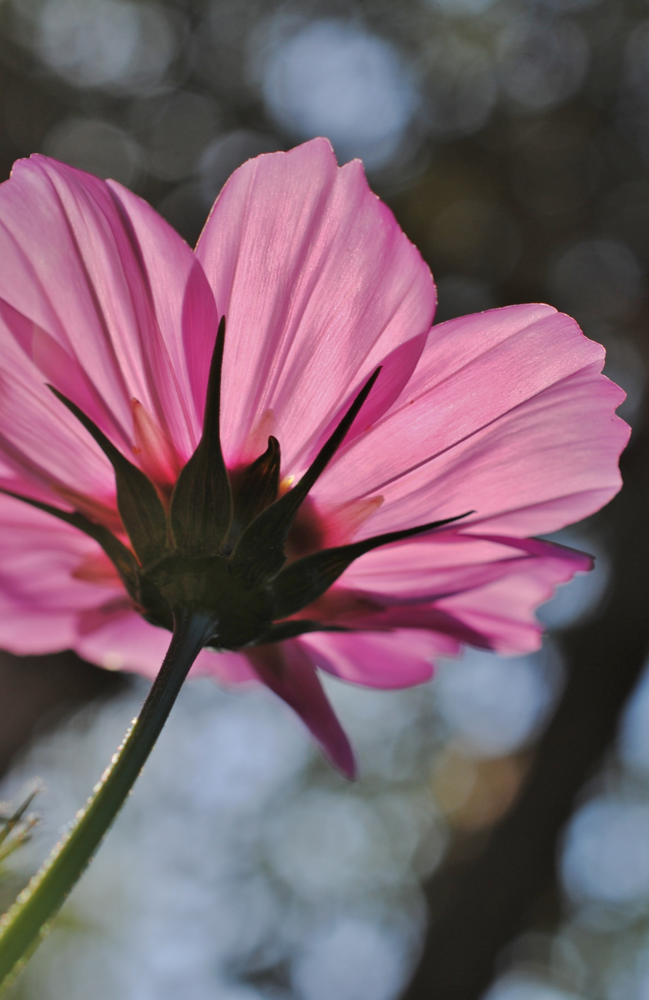 Pink Cosmos in the morning sun.. by Renee Norton