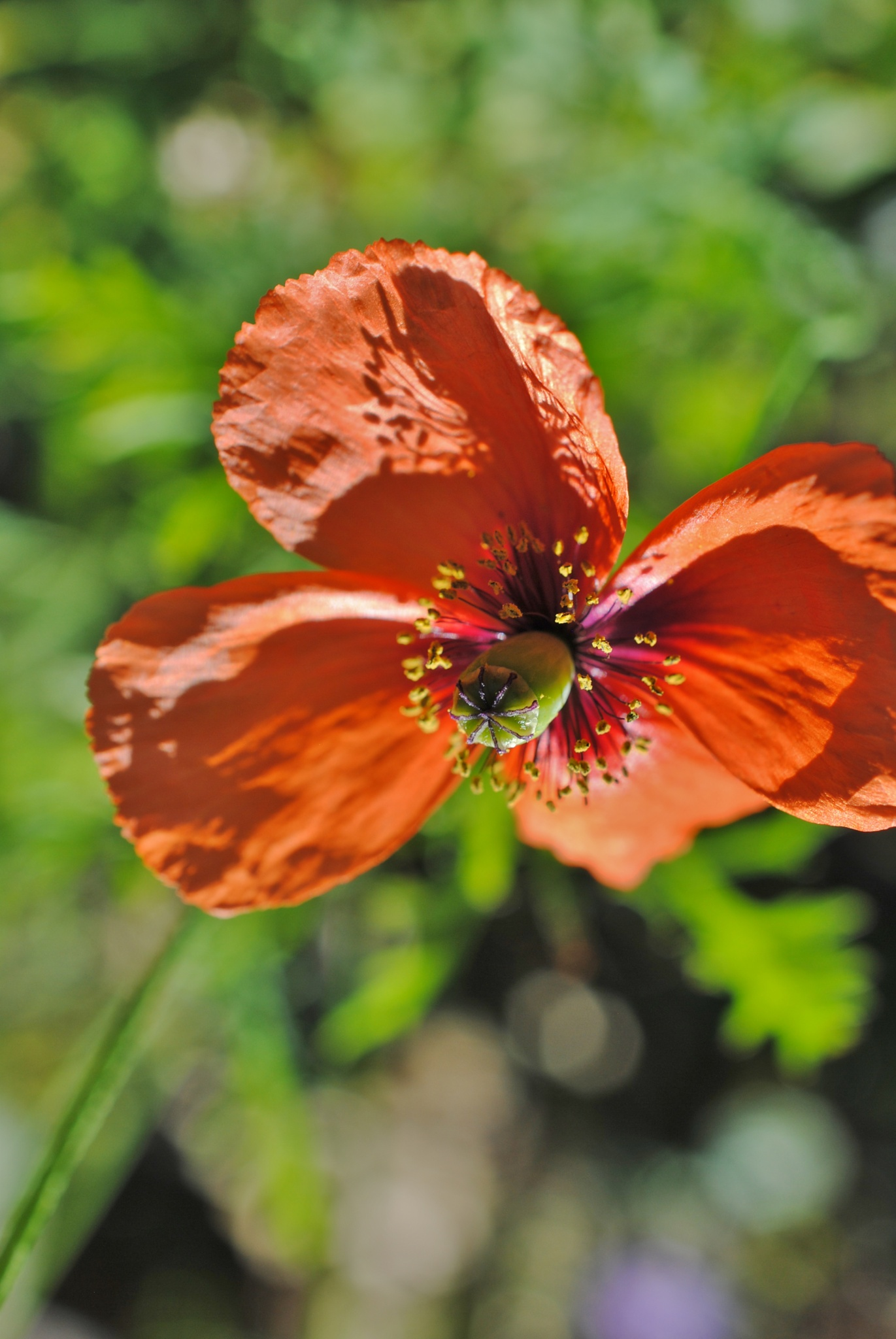 Last of the Poppies.. by Renee Norton