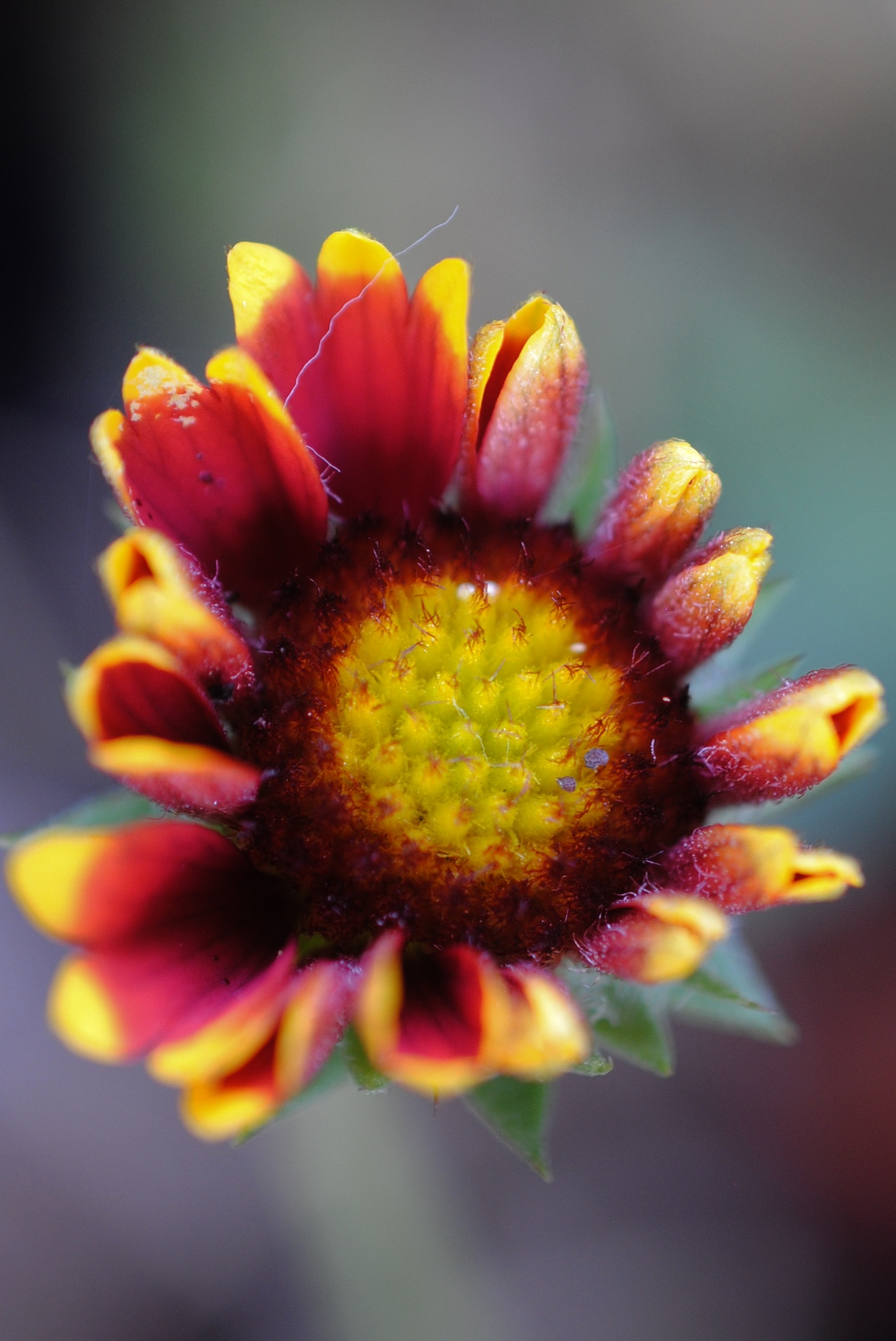 Gallardia Flower.. by Renee Norton