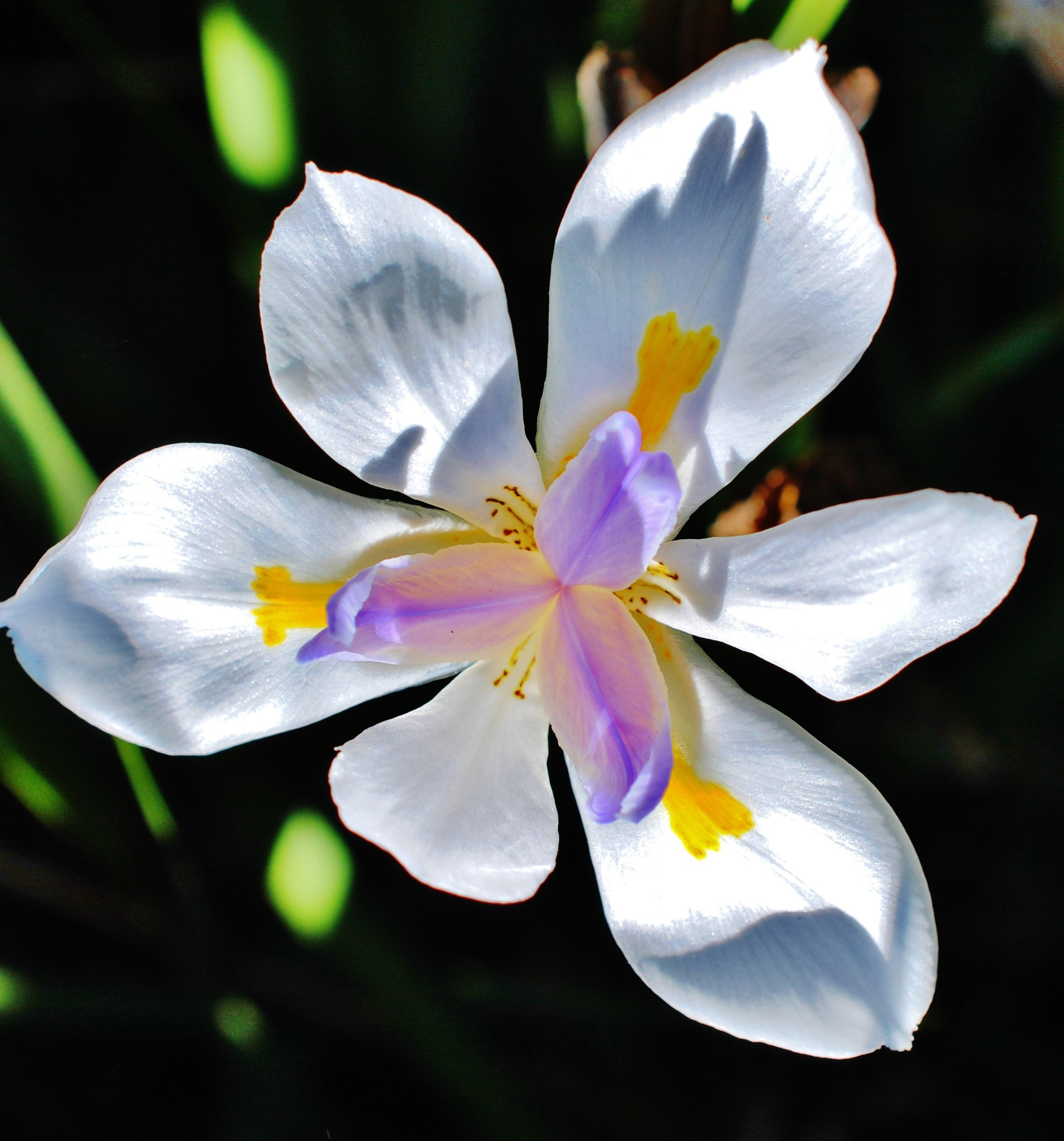 Dietes Flower.. by Renee Norton