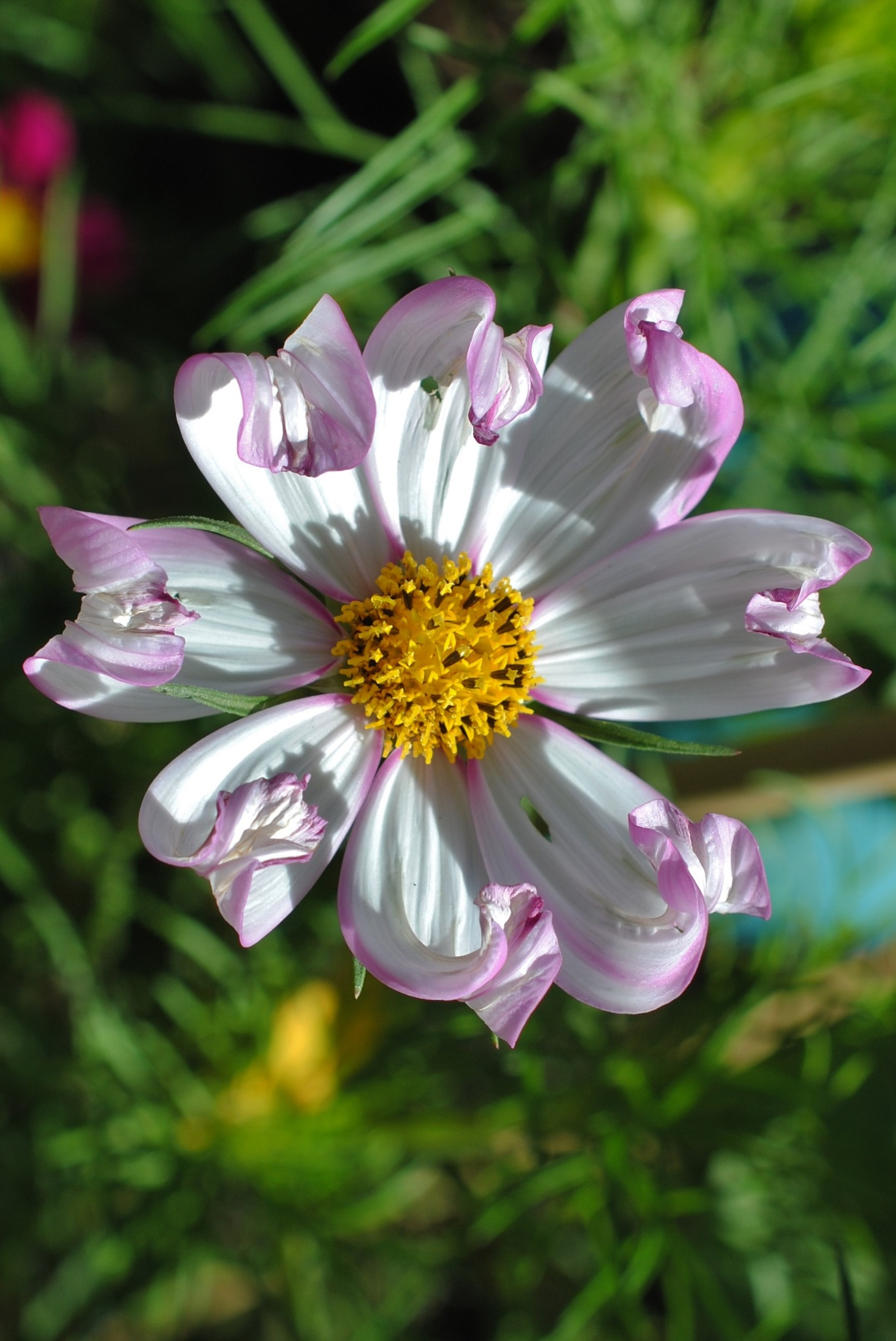 Purple and White Cosmos.. by Renee Norton
