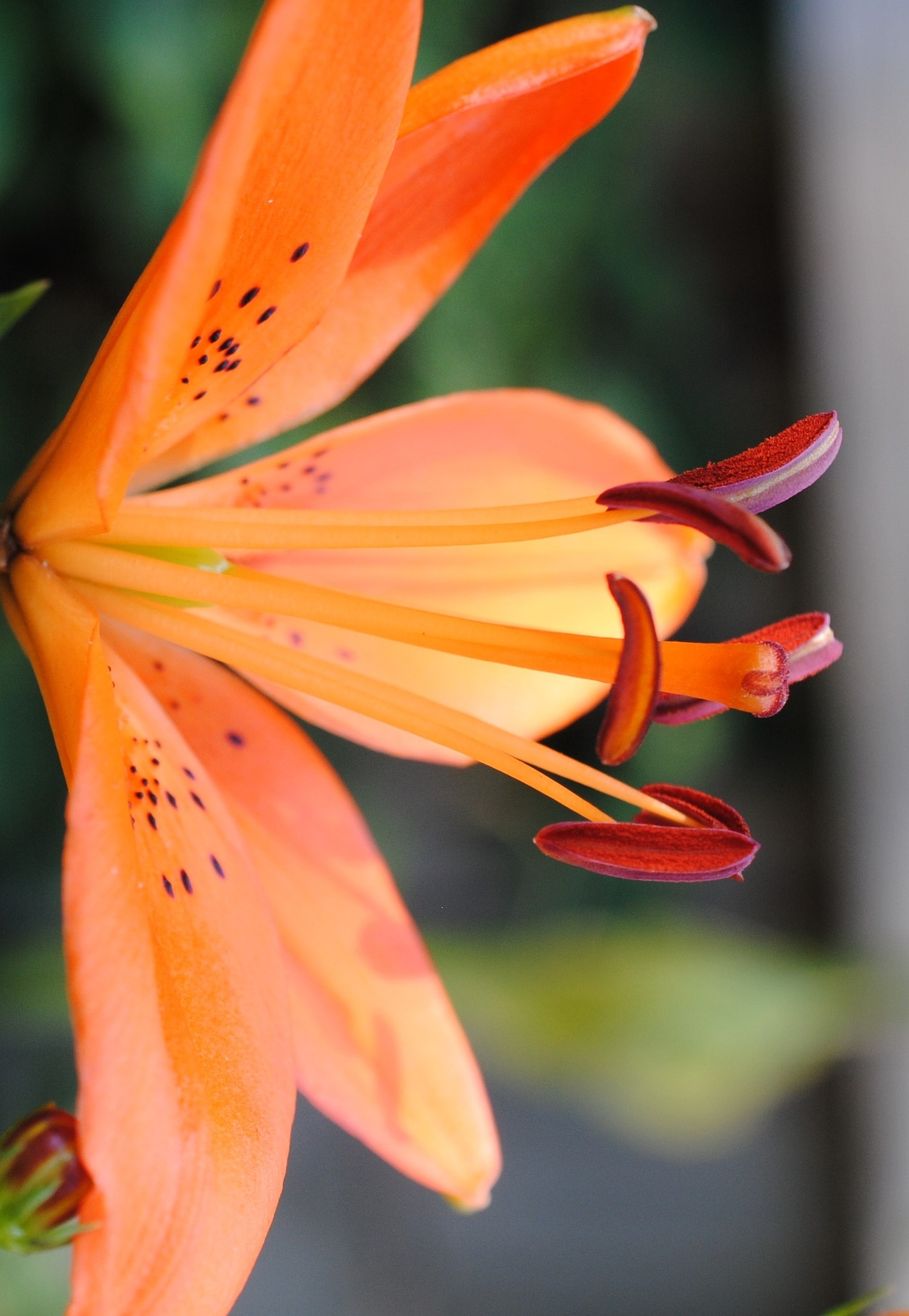 Orange Christmas Lily 2.. by Renee Norton